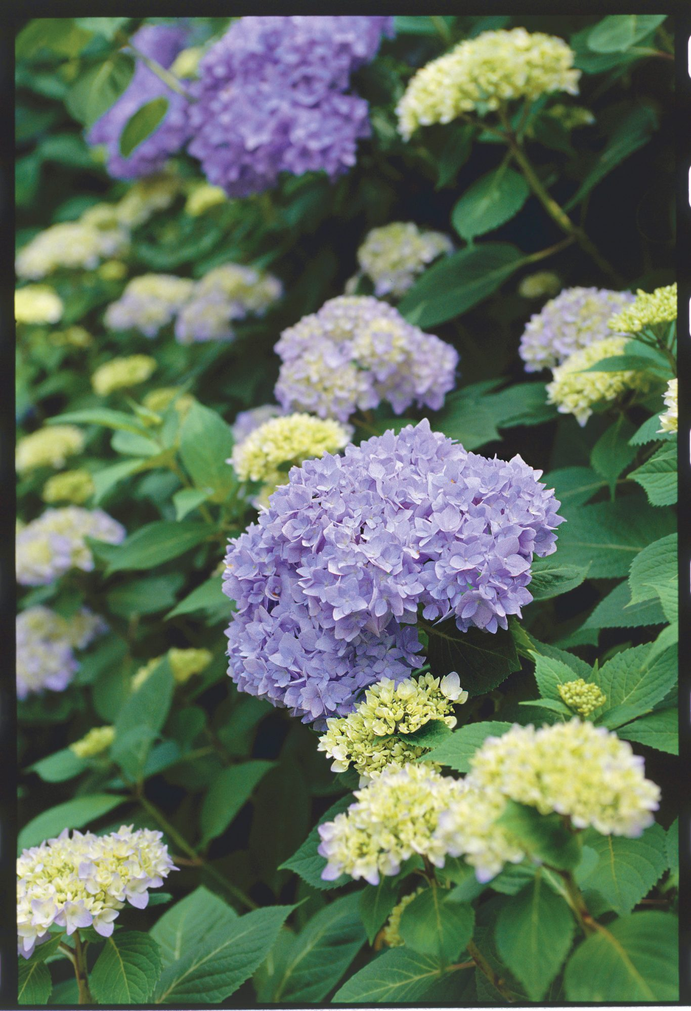 Hydrangeas to Share