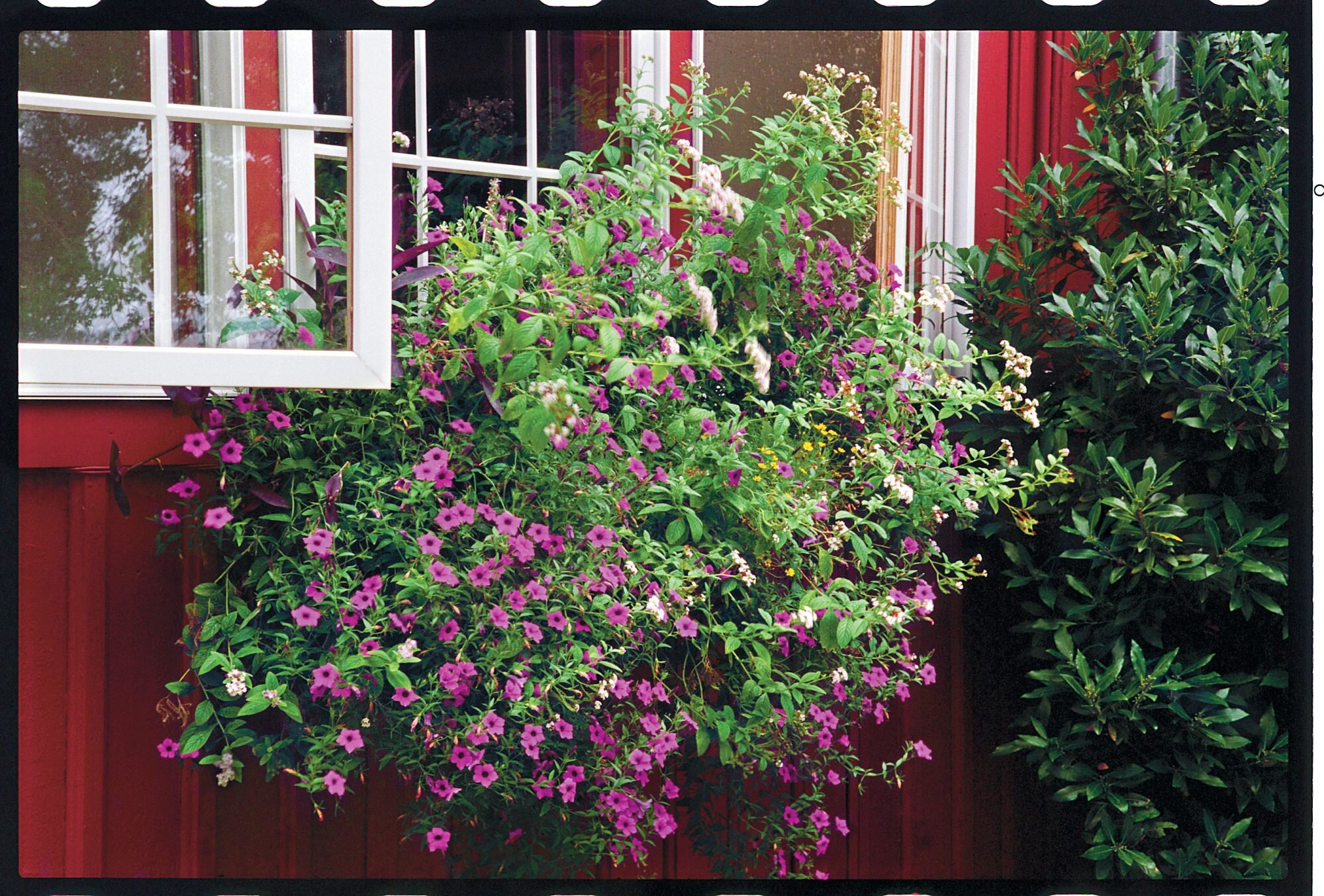 New Types Of Perfect Petunias Southern Living