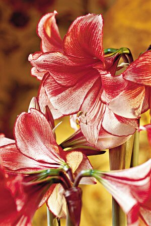 Amaryllis After Christmas Now What Southern Living