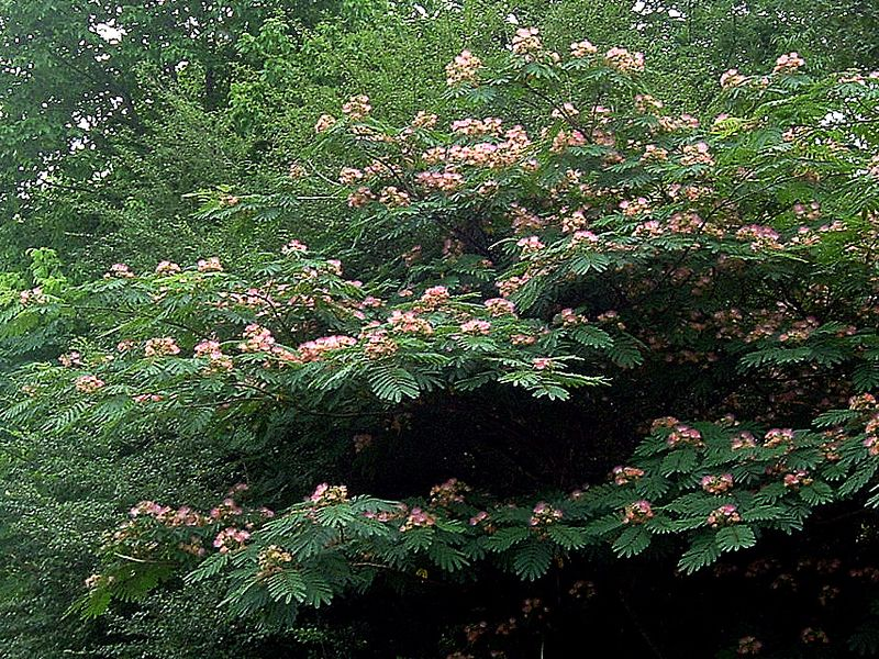 Mimosa – The Wonderful, Awful Weed