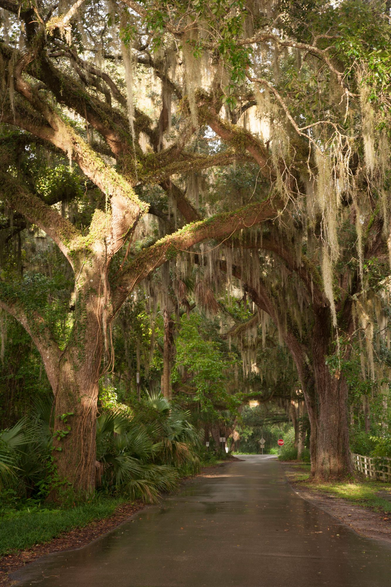 Micanopy, Florida: Oak Trees