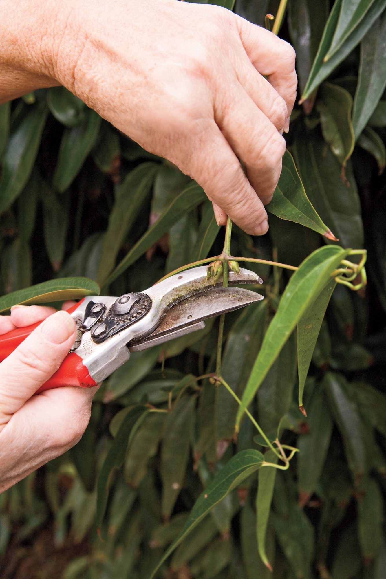 Flower Plants: Pruning: Group I Clematis