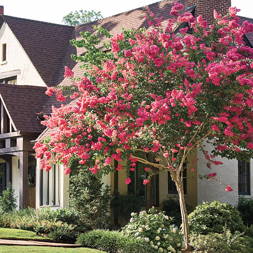 Southern Gardening Tips: Crepe Myrtle, Crape Myrtle, Flowering Trees