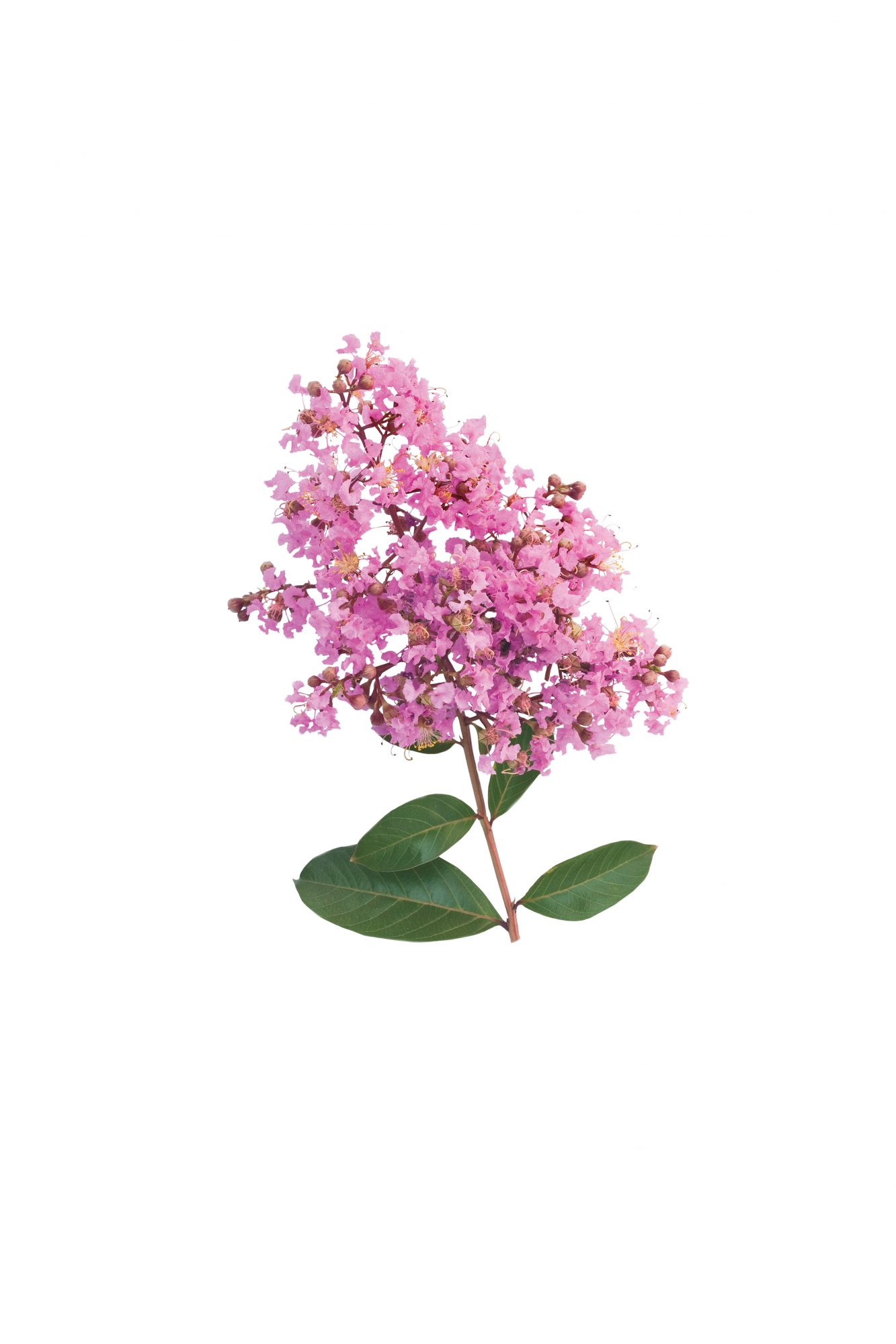 Our Favorite Crepe Myrtles: Osage