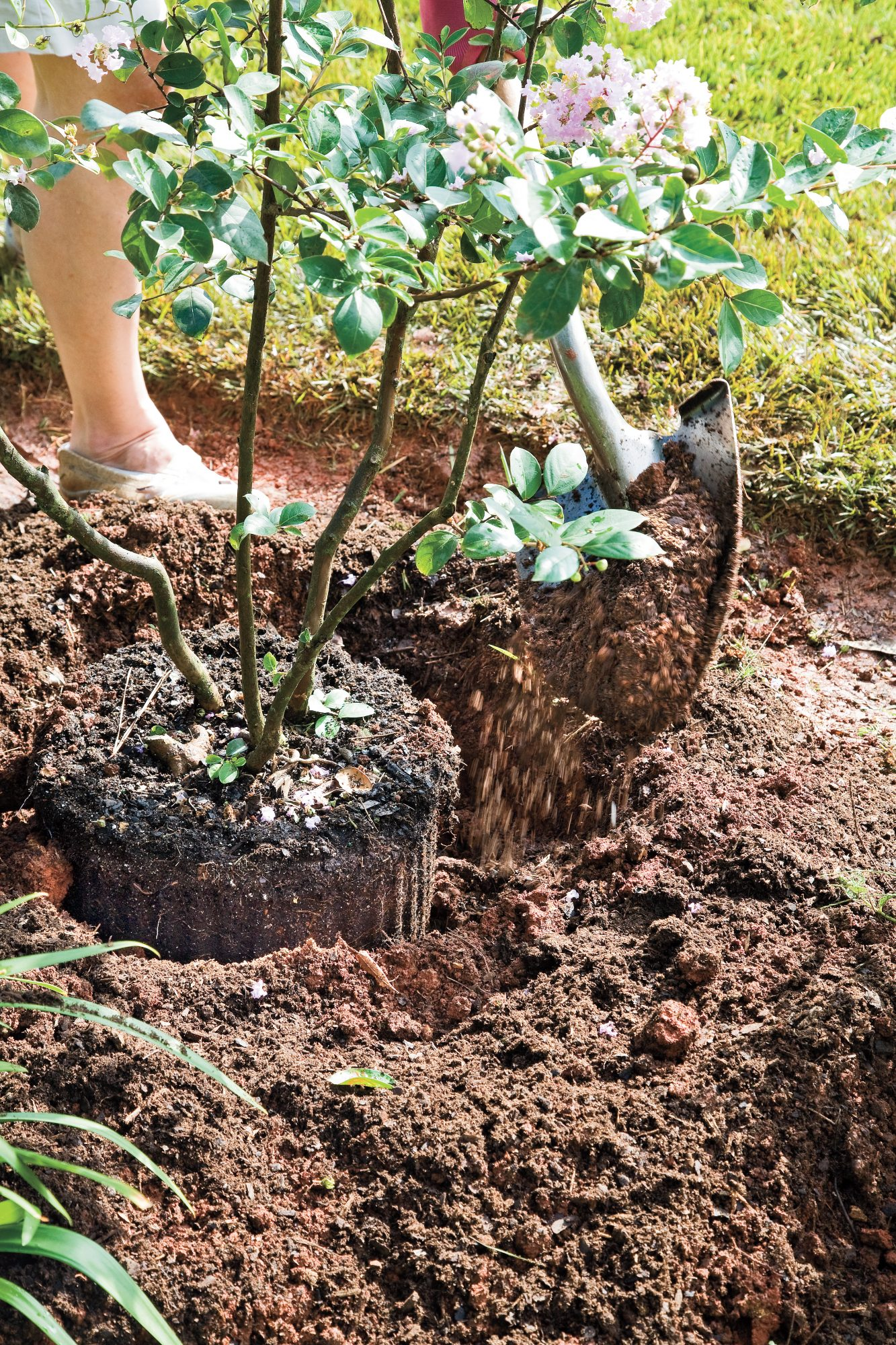 How to Plant a Crepe Myrtle with Success: Step 3