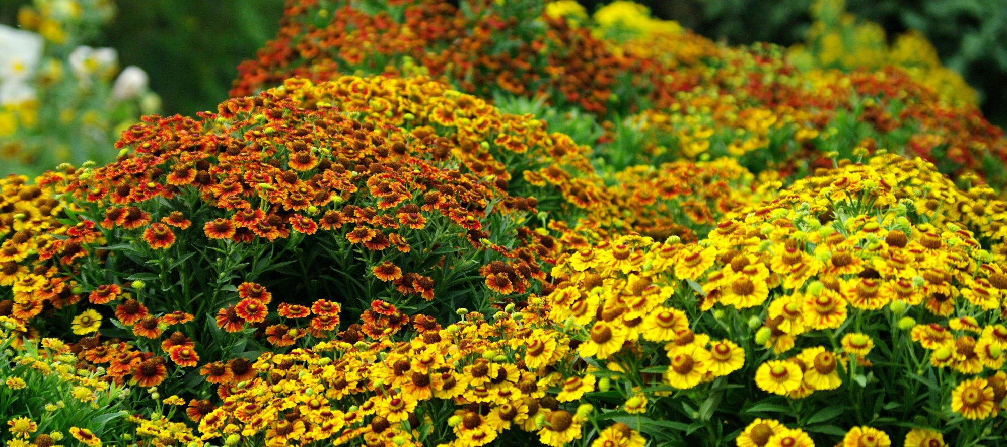 Helenium Fall Flower