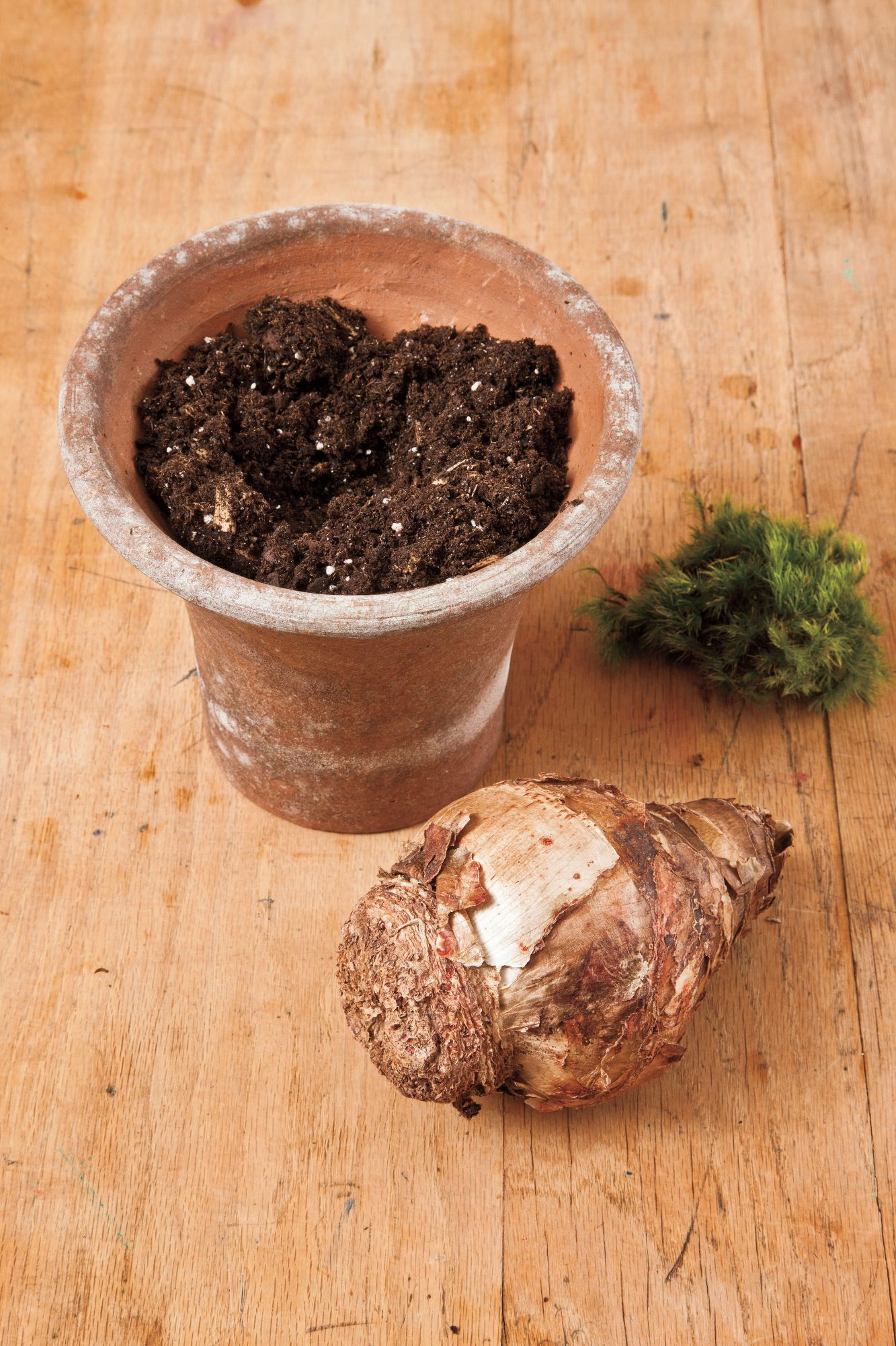 How to Plant Amaryllis Bulbs: Step 1