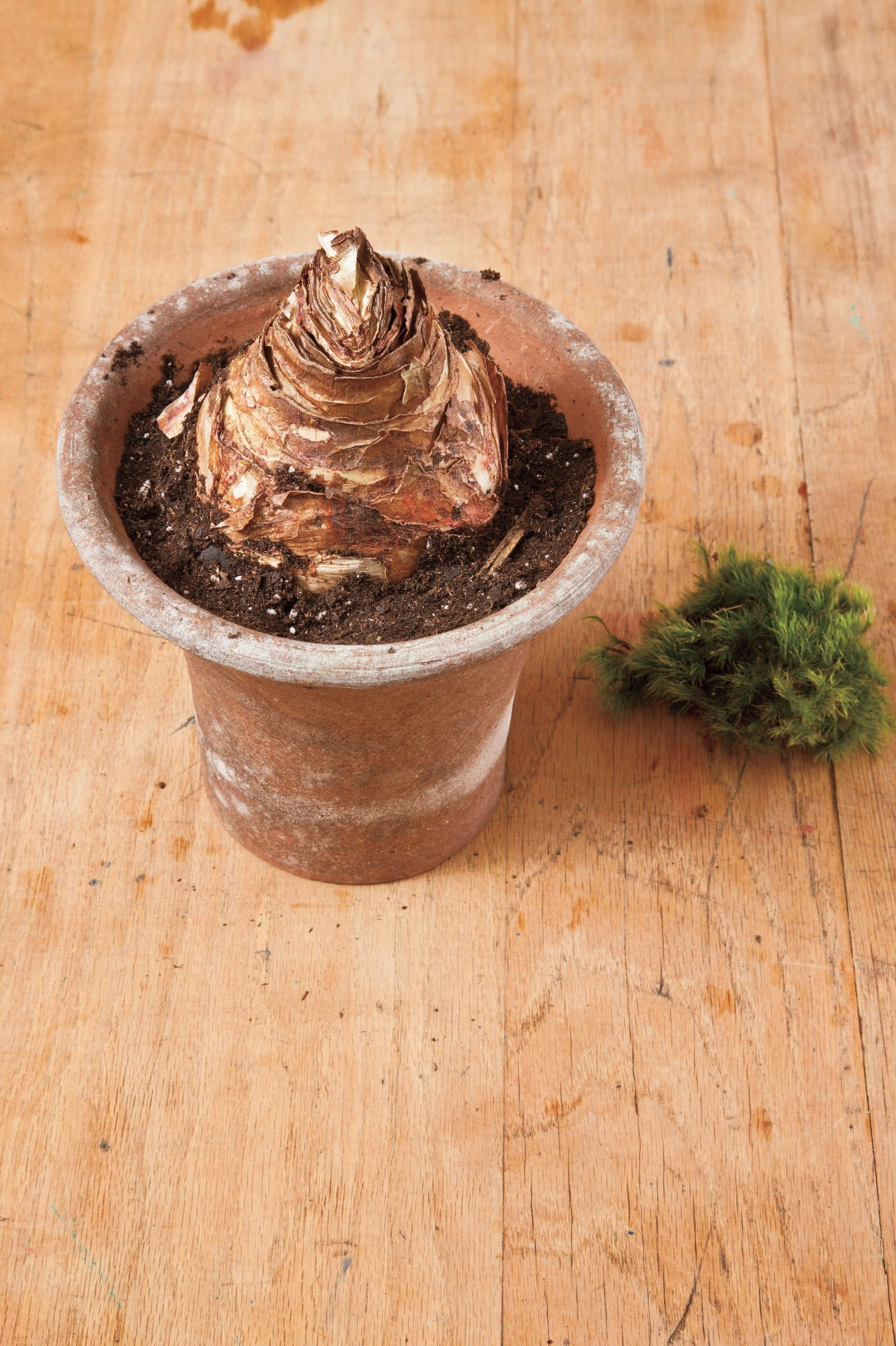 How to Plant Amaryllis Bulbs: Step 2