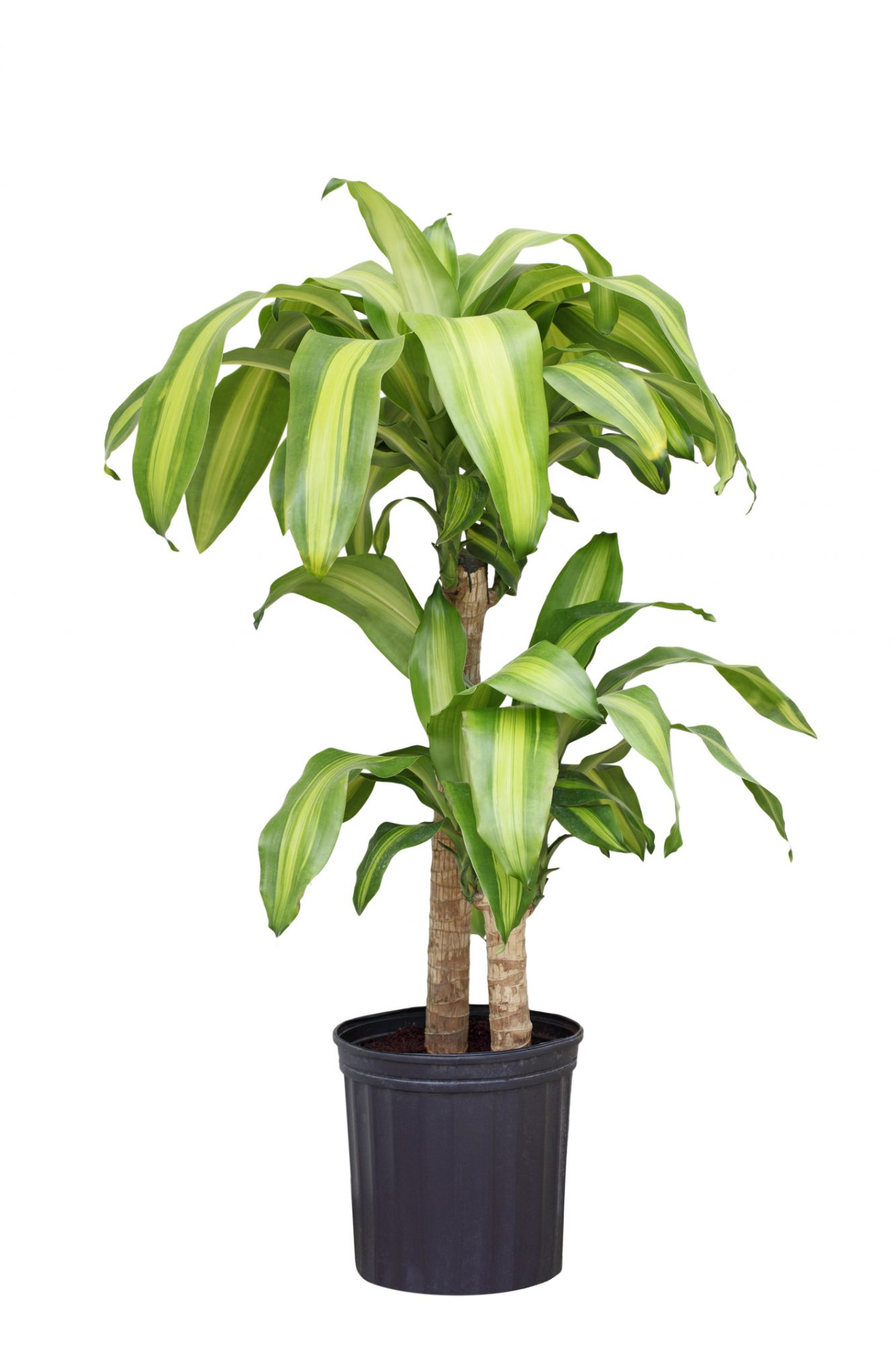 Corn Plant for Indoor