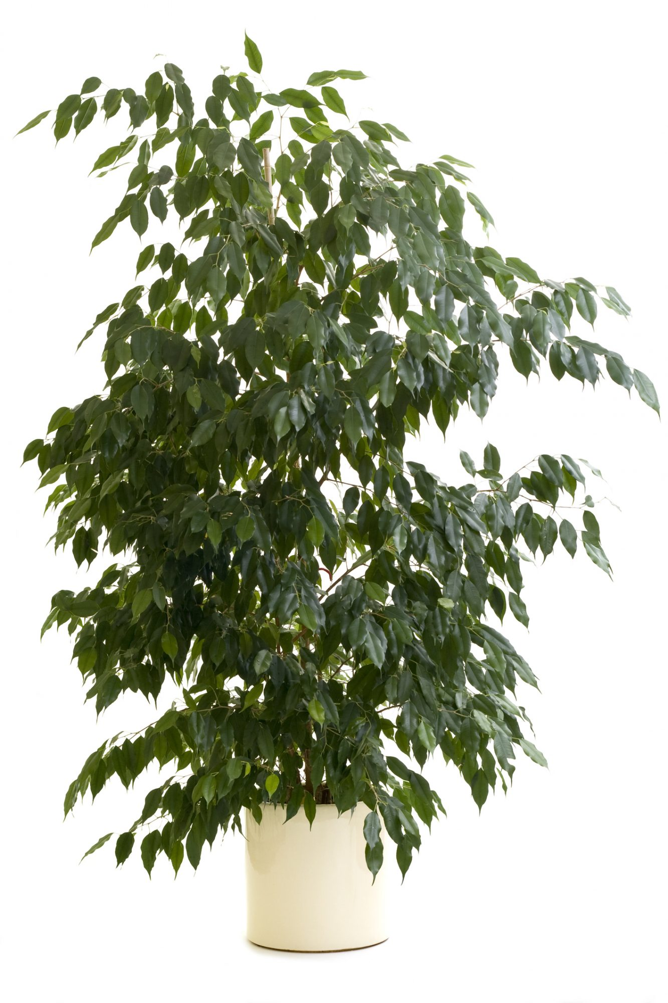 Indoor Weeping Fig (Ficus)