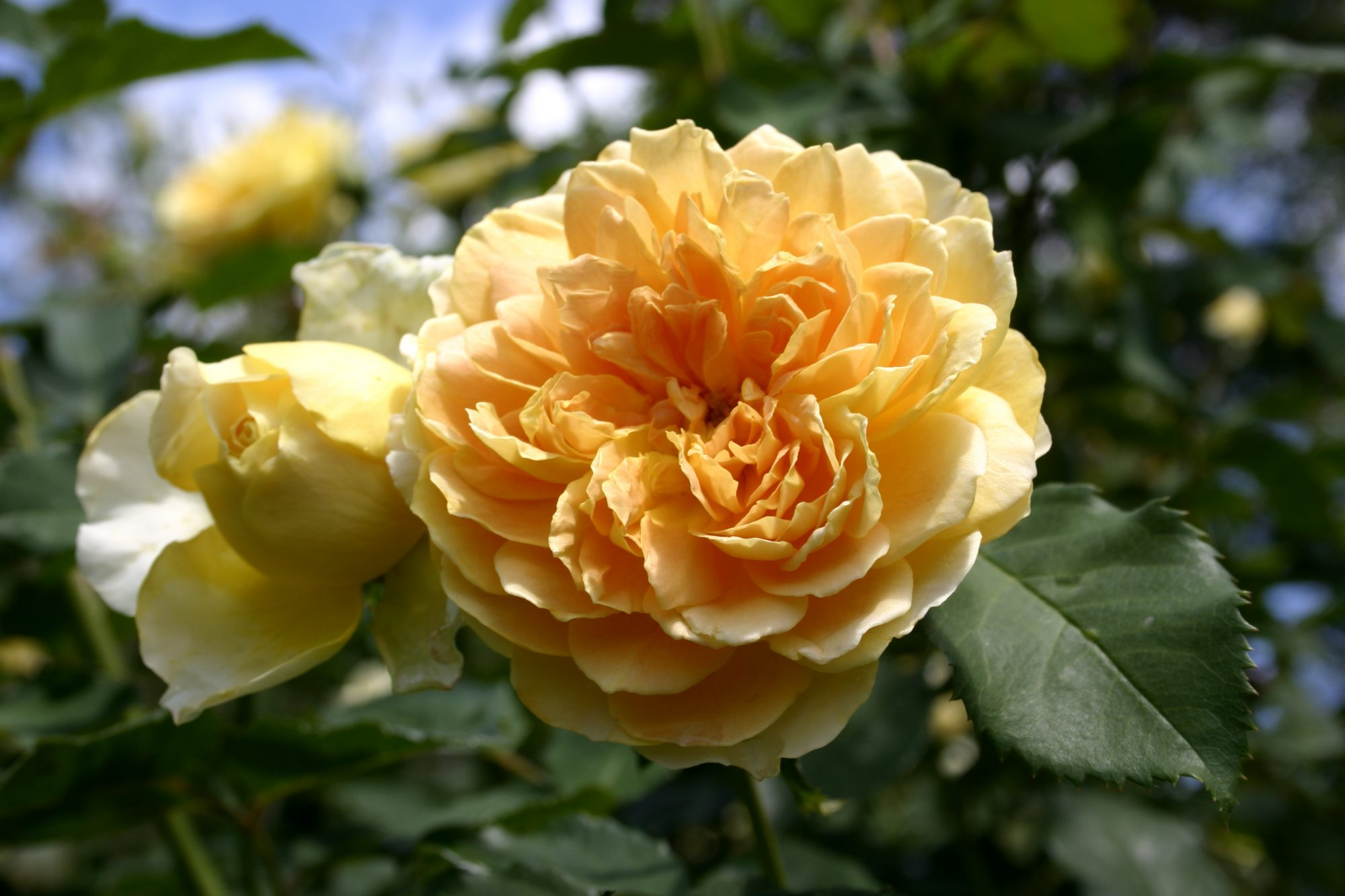 Yellow David Austin Rose Molineux