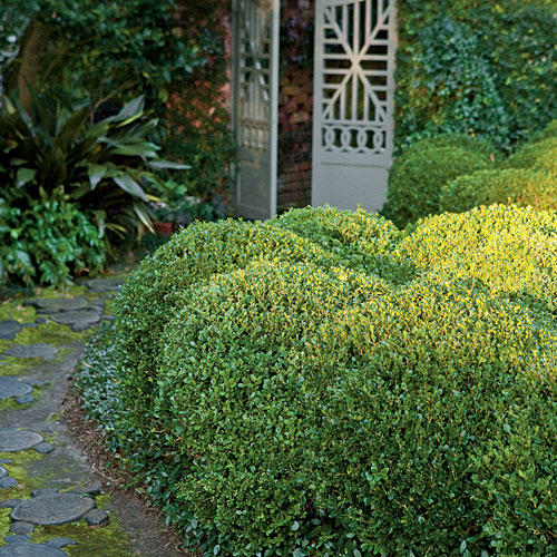 japanese boxwood garden