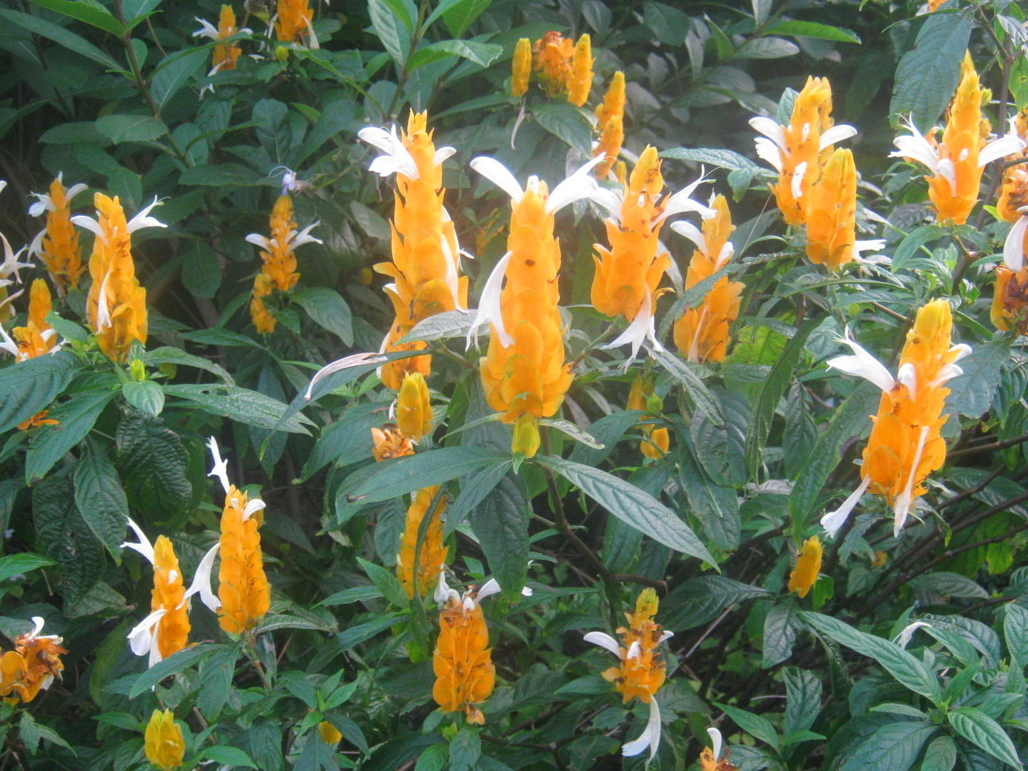 yellow-shrimp-plant-001_phixr.jpg