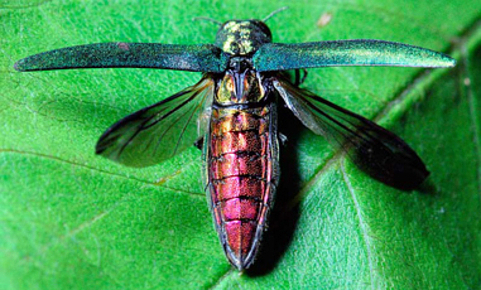 emeraldashborer6-copy_phixr.jpg