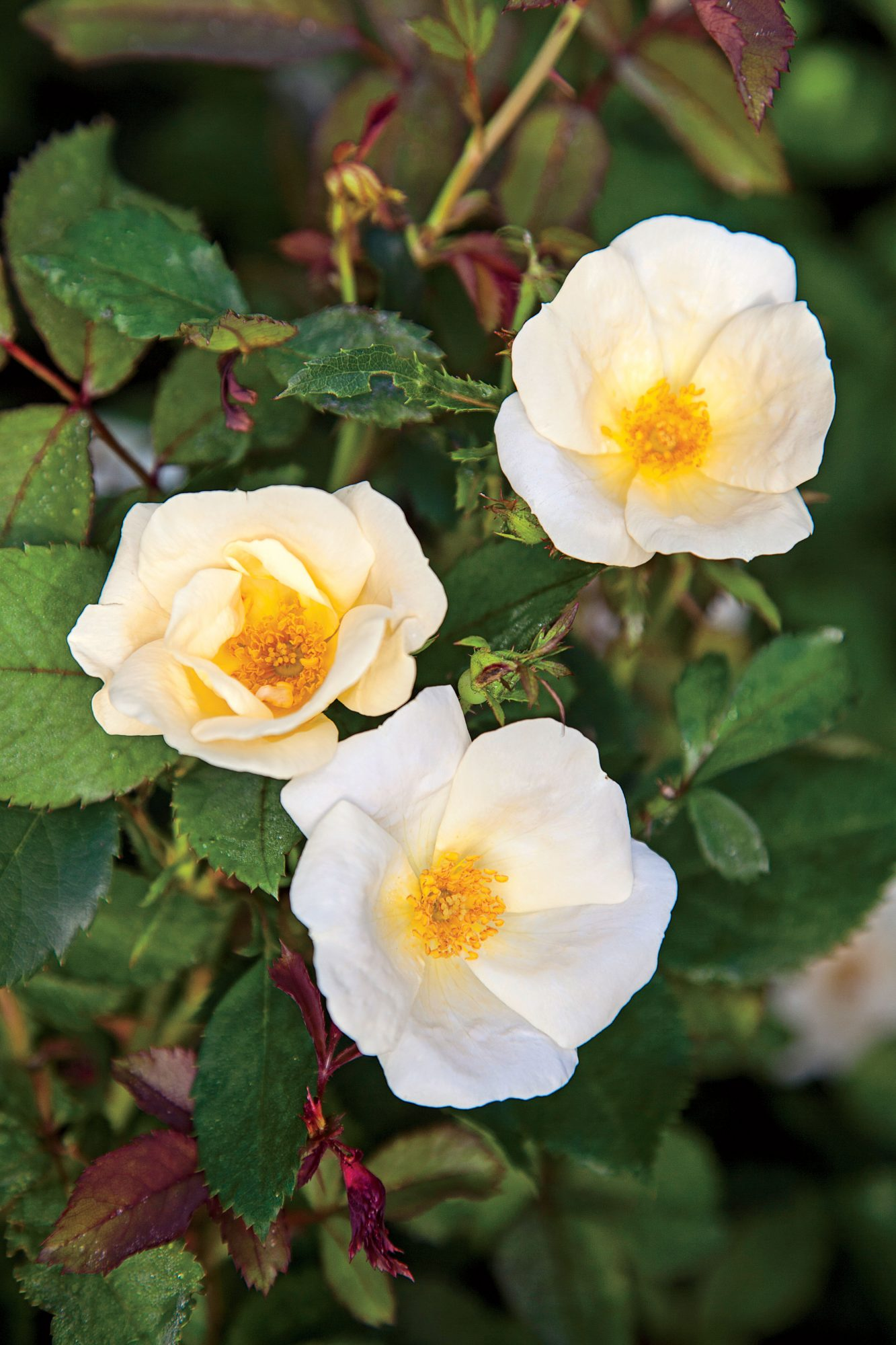 'White Out' Shrub Rose