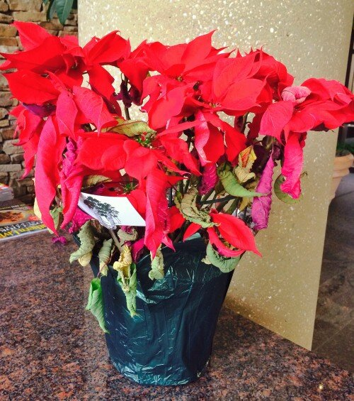 Poinsettias After Christmas Now What Southern Living