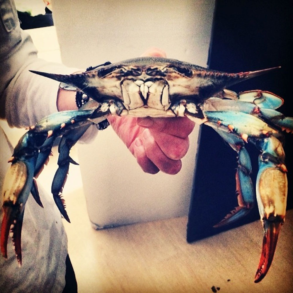 Blue and White Crab