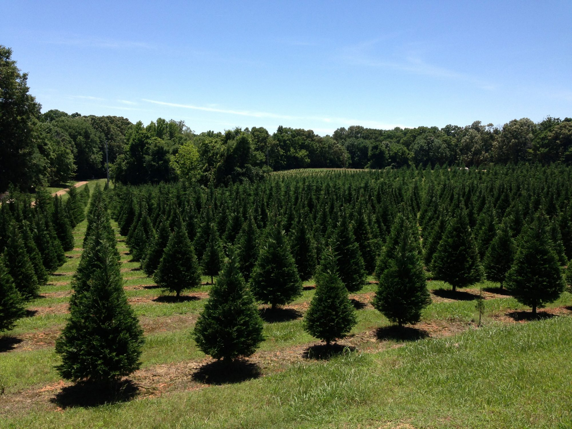 Cut Your Own Christmas Tree at Cedar Hill Farm