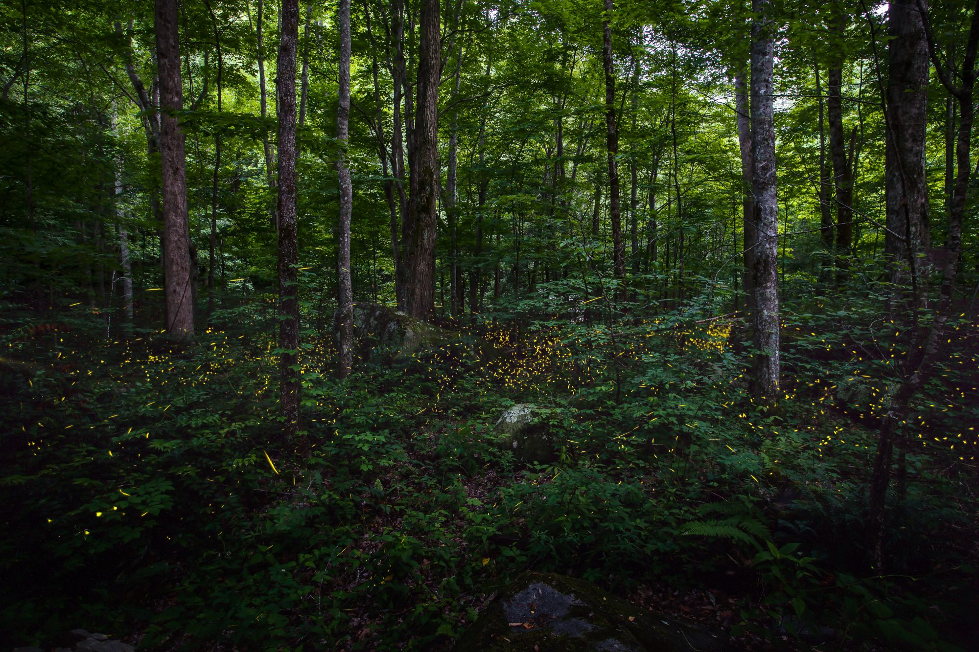 Synchronous Fireflies, Great Smoky Mountains National Park (Tennessee)