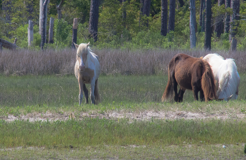 chincoteague-horses.jpg