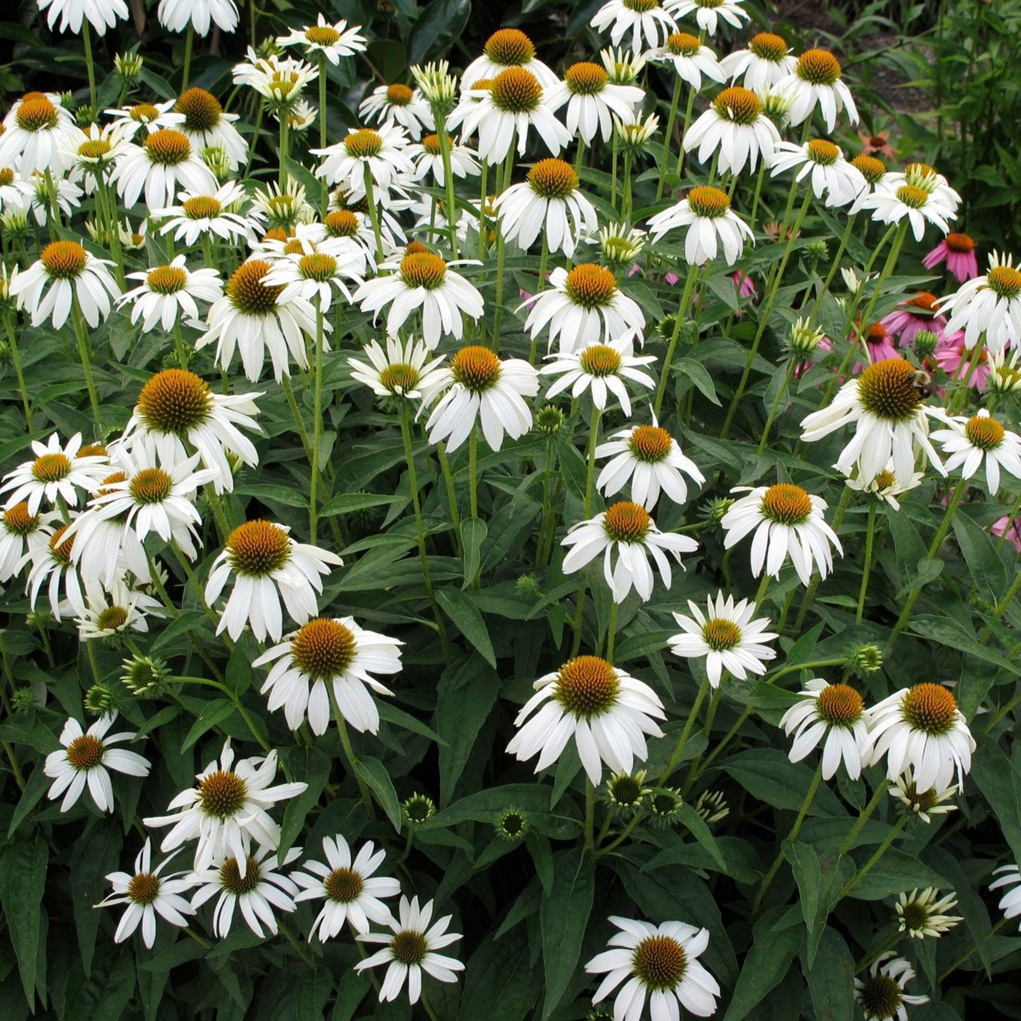 Crazy White Enchinacea