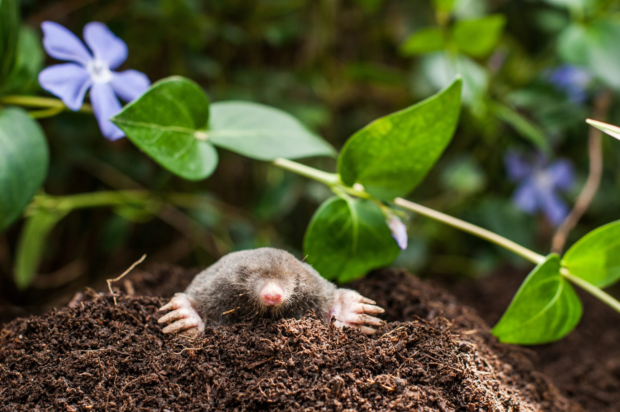 Mole in Hole with Purple Flower