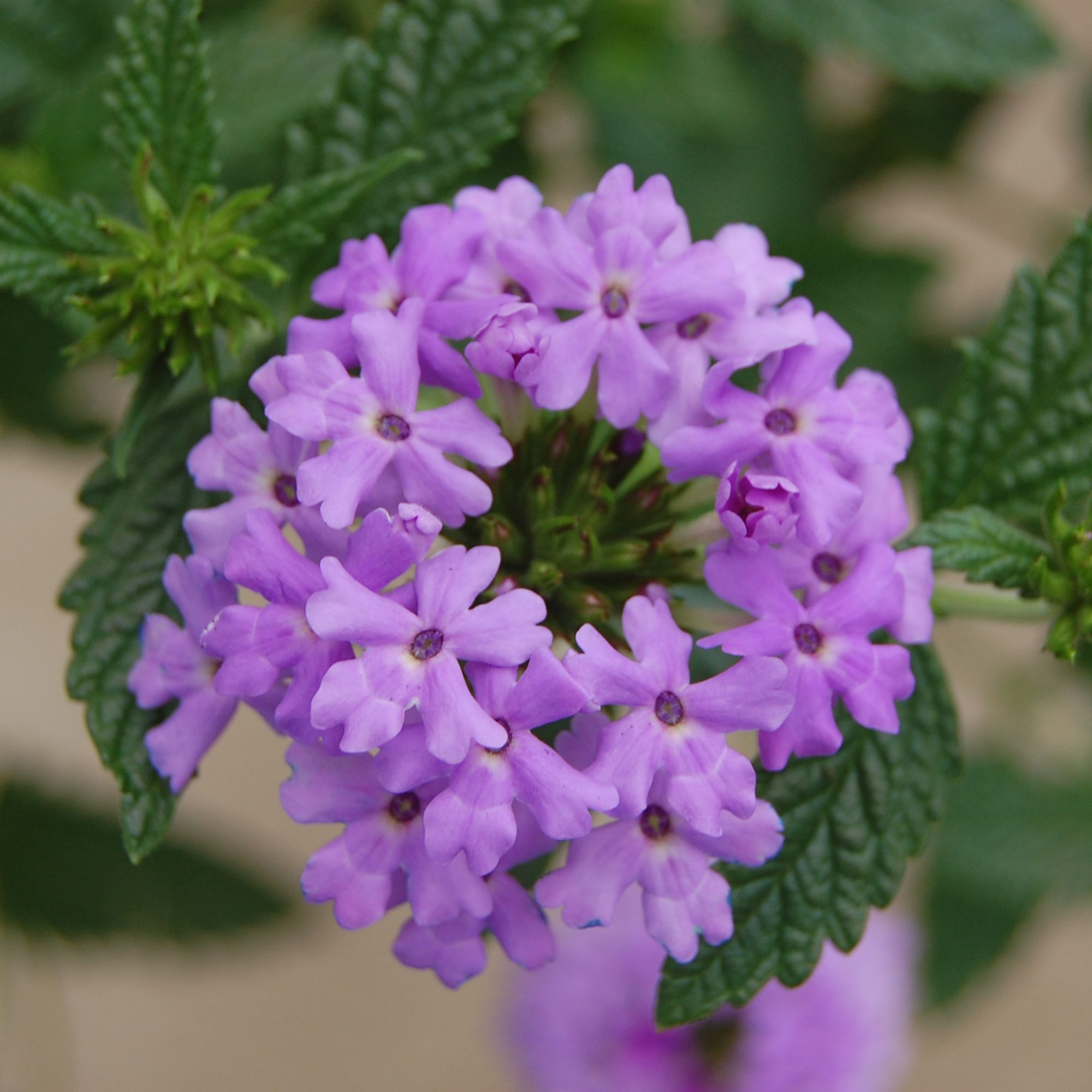 'Princess Dark Lavender' Verbena