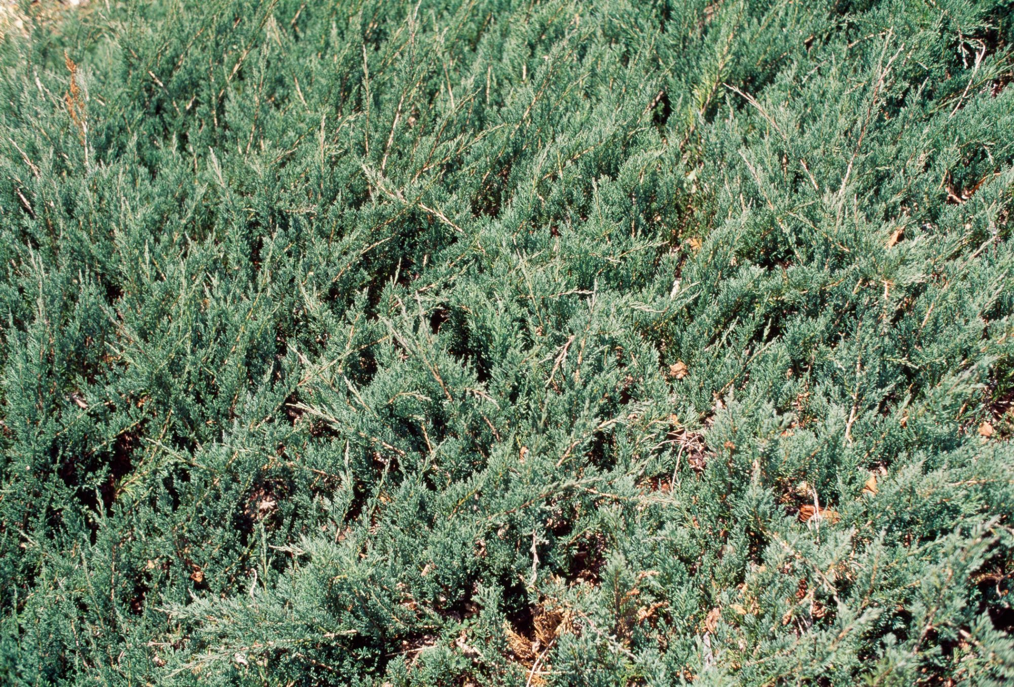 Creeping juniper ground cover