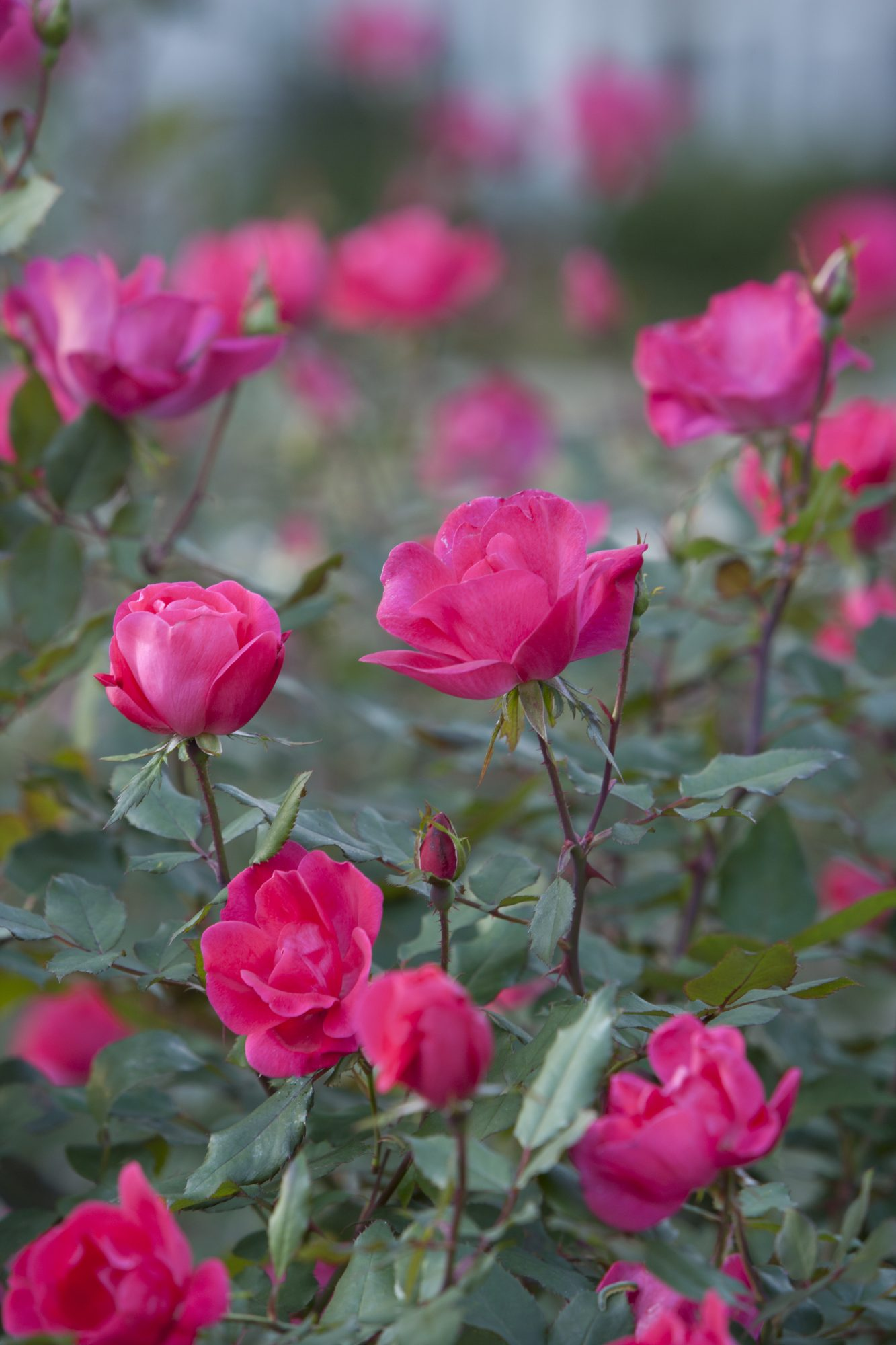 Pink Knock Out Rose Shrub