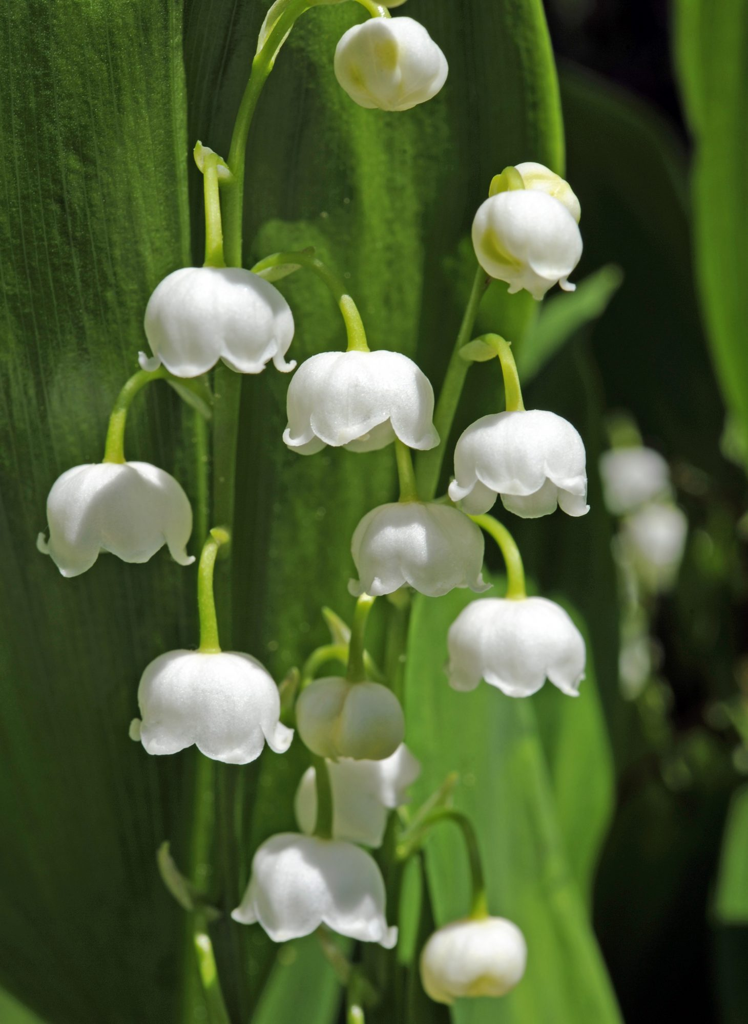 May Birth Flower Lily-of-the-Valley