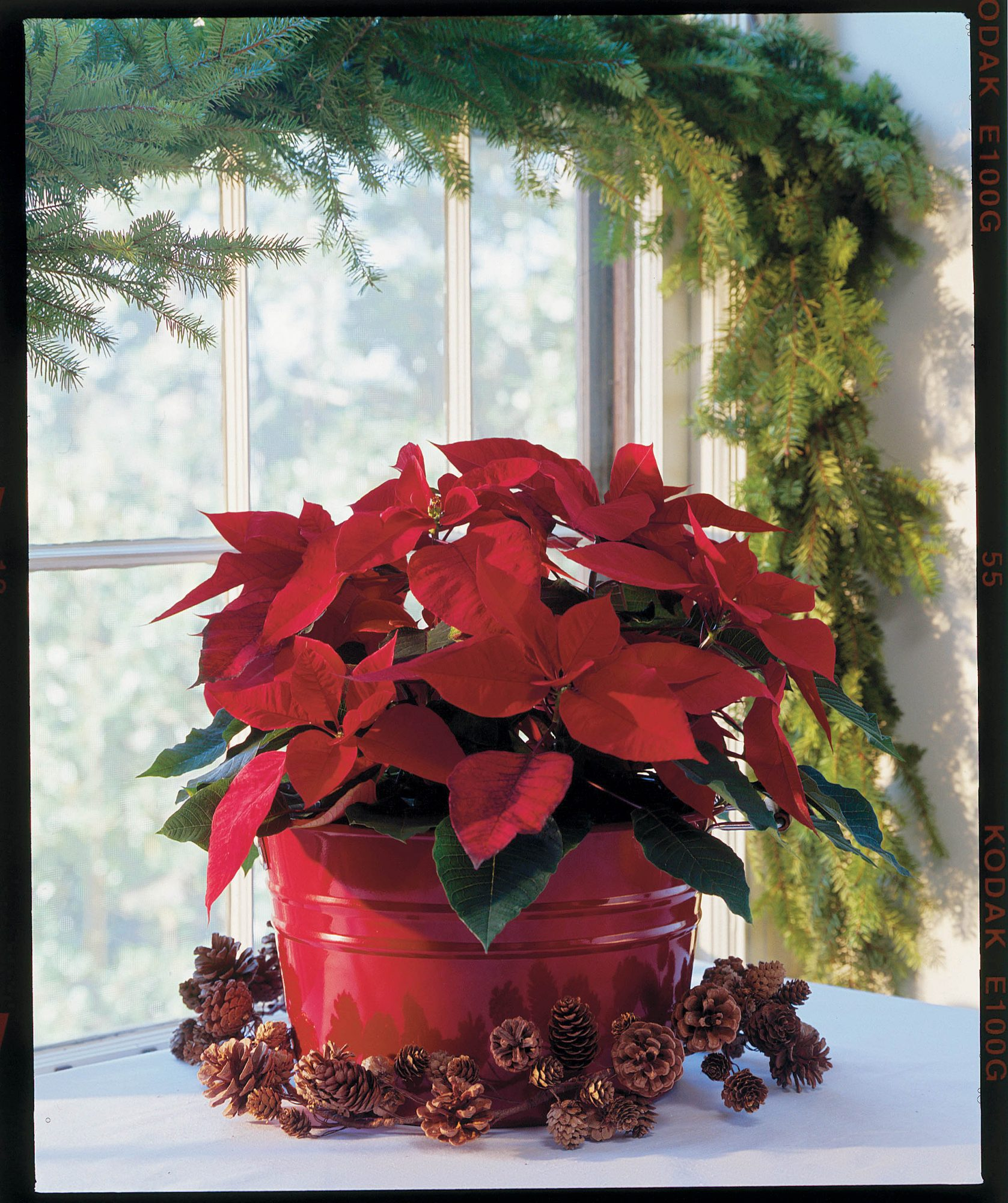 Poinsettia, poinsettias