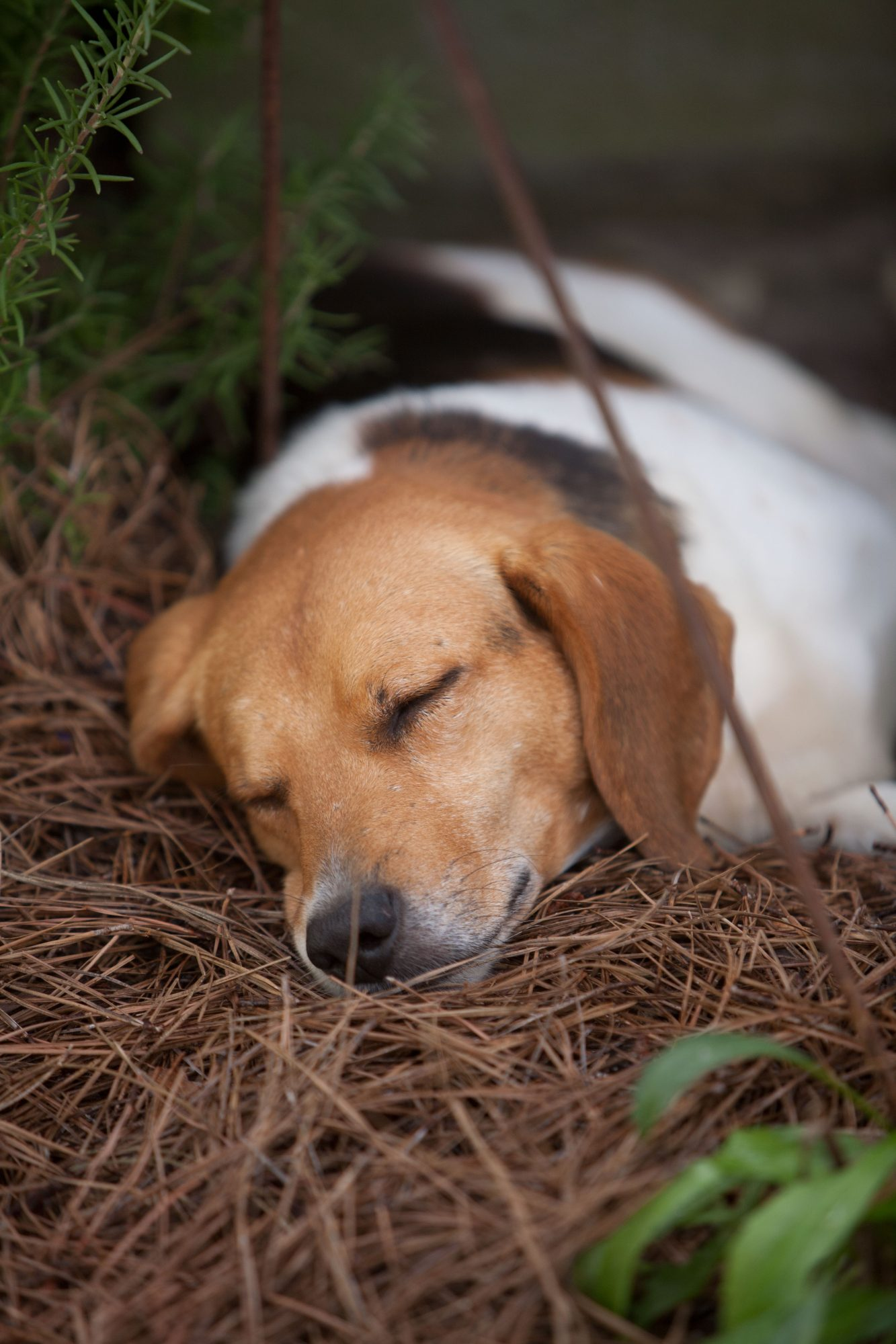 Beagle sleeping outside