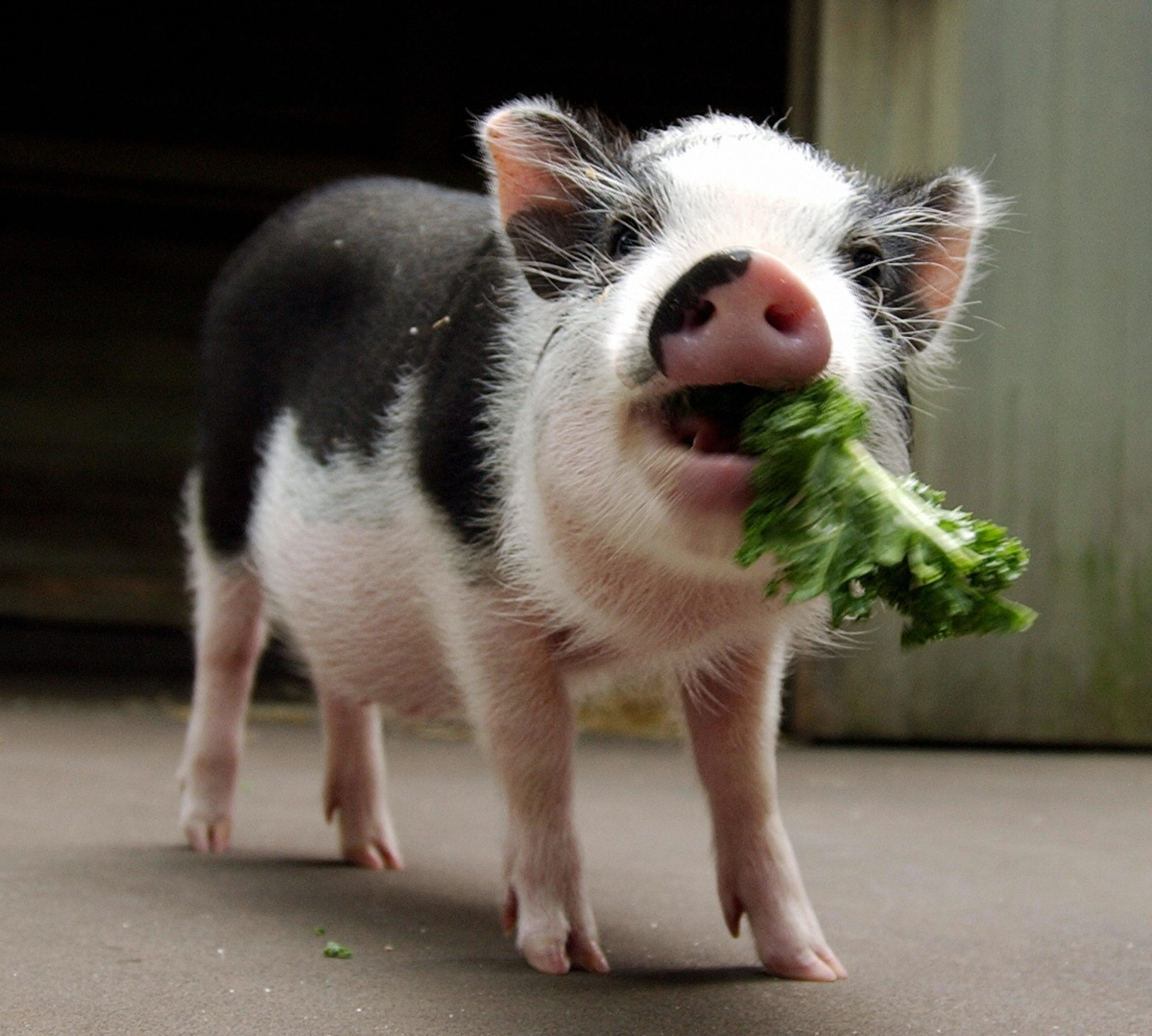 small pig eating lettuce