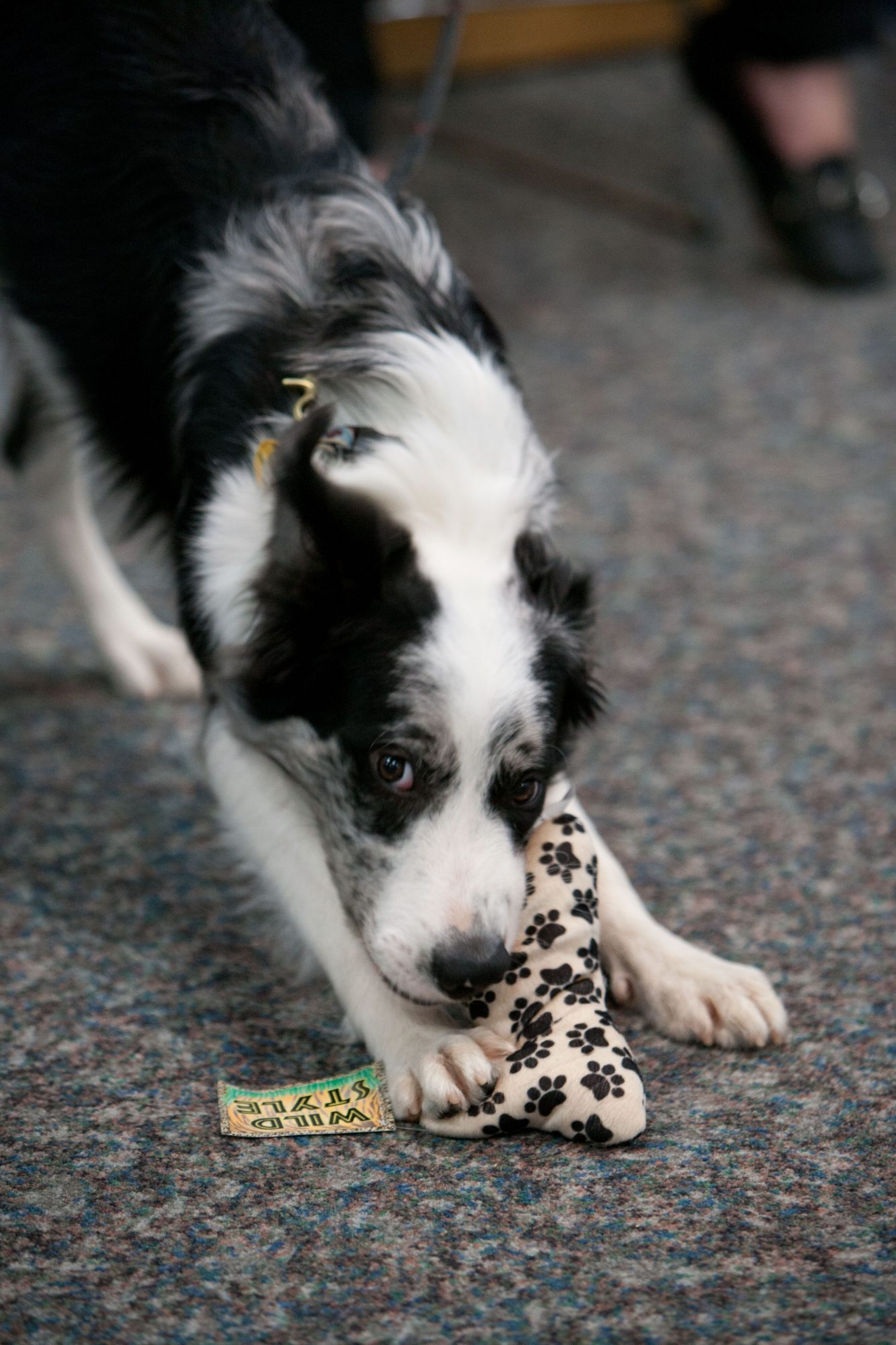 black and white dog with toy