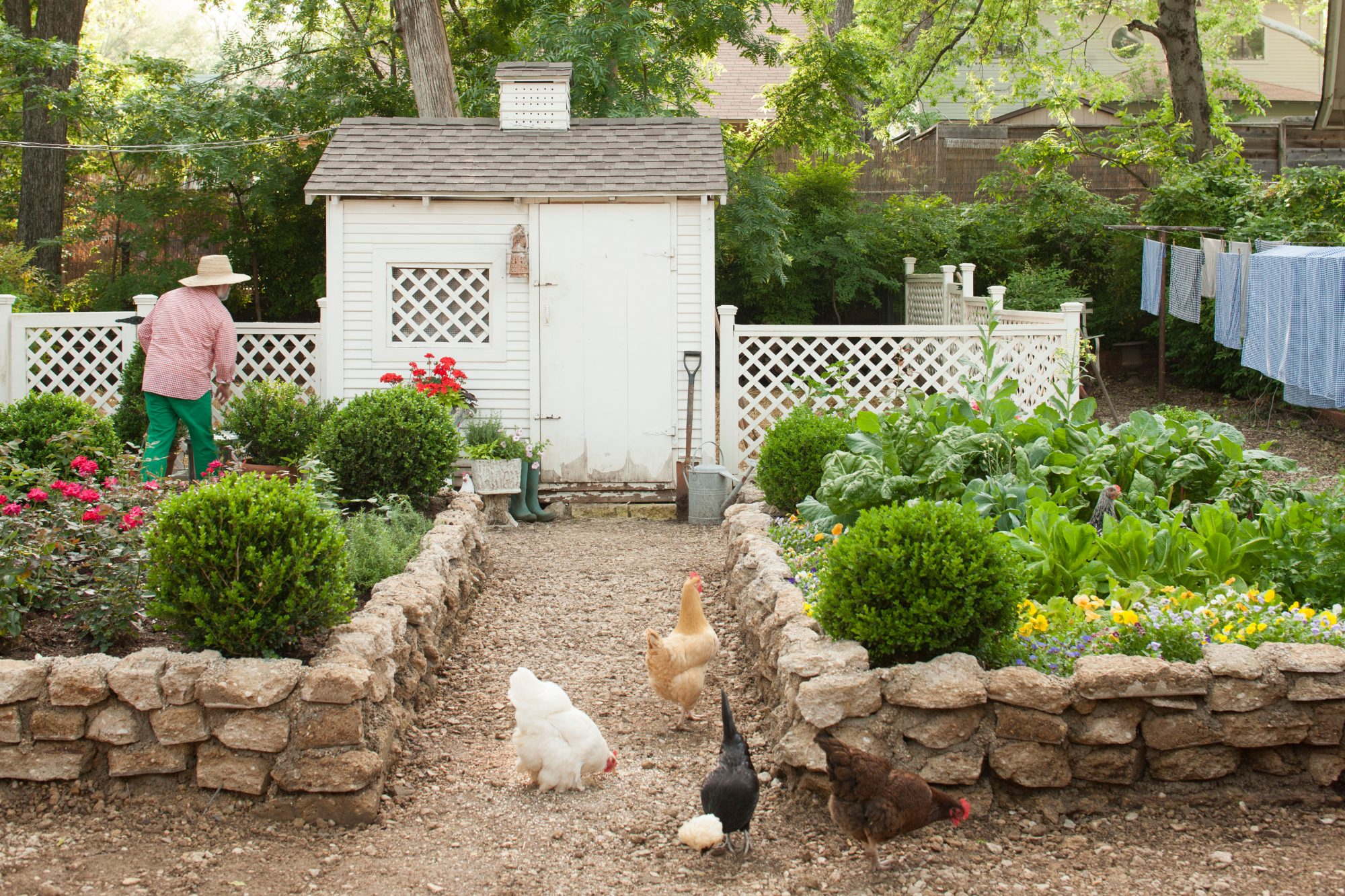 Chickens grazing while walking in front of chicken coop in garden; man (Jimmie Henslee) in background.