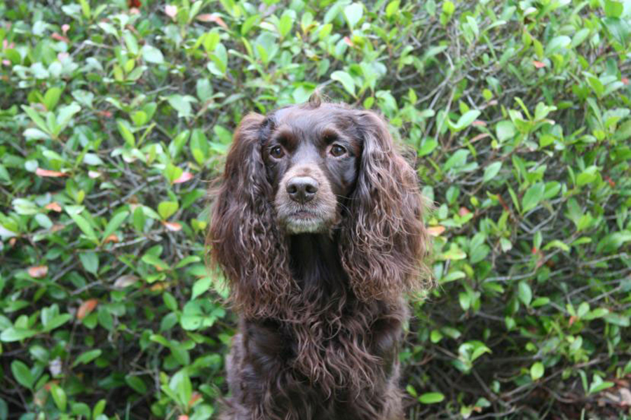 Chocolate Spaniel Outside