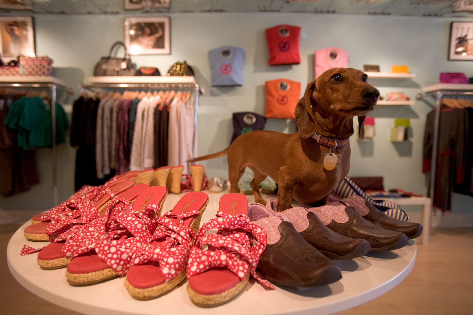 Daschund in store with shoes