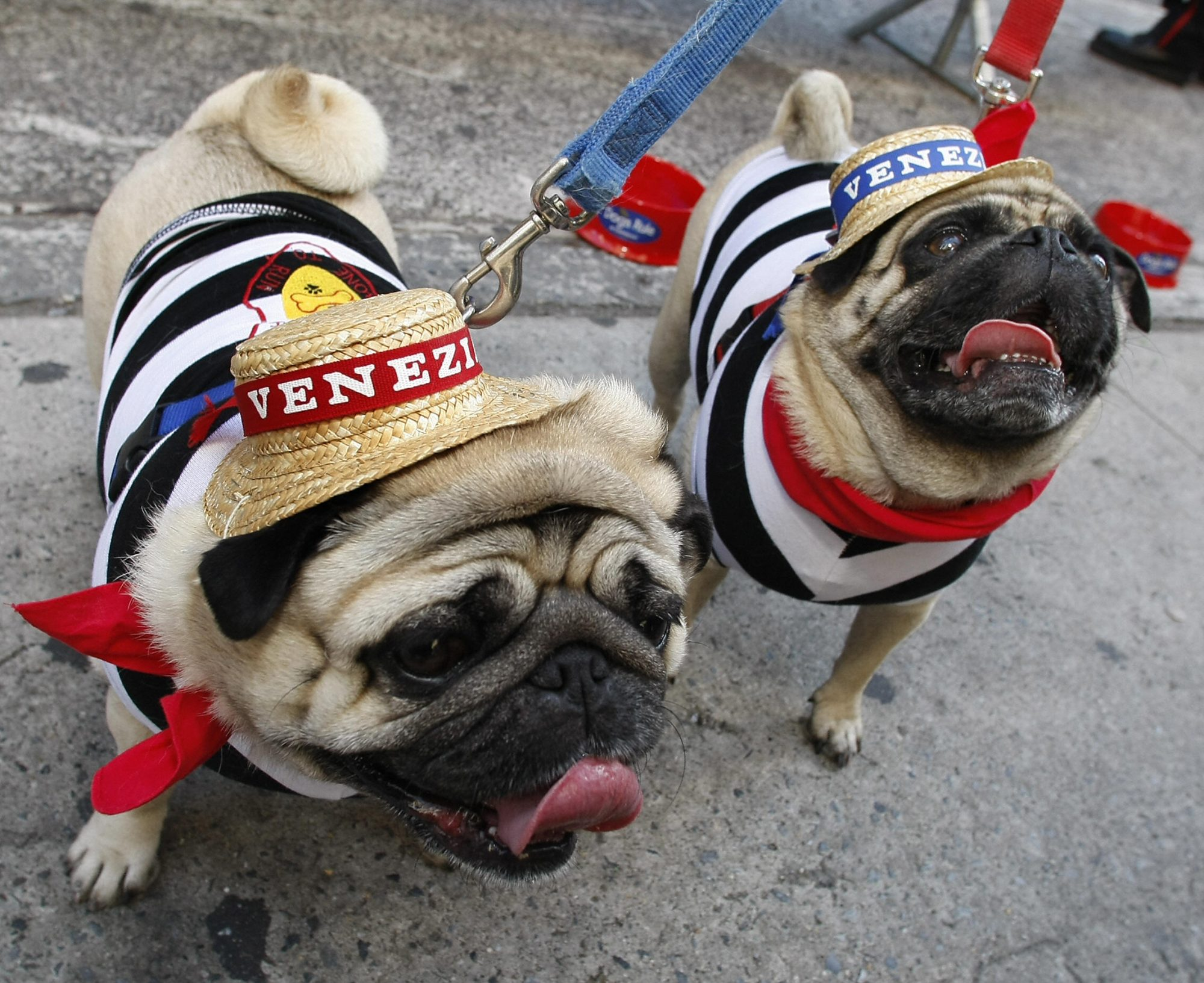 Pugs dressed as gondliers for Halloween