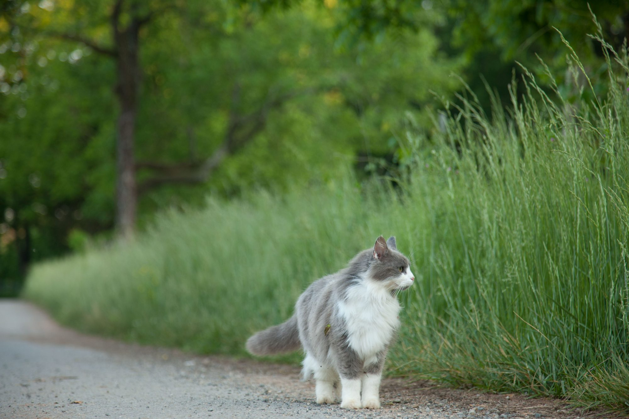 Gray and White Cat Walking Outside