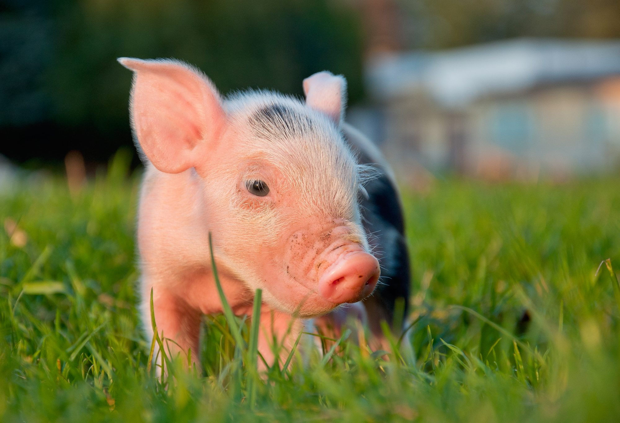 Piglet walking in grass field