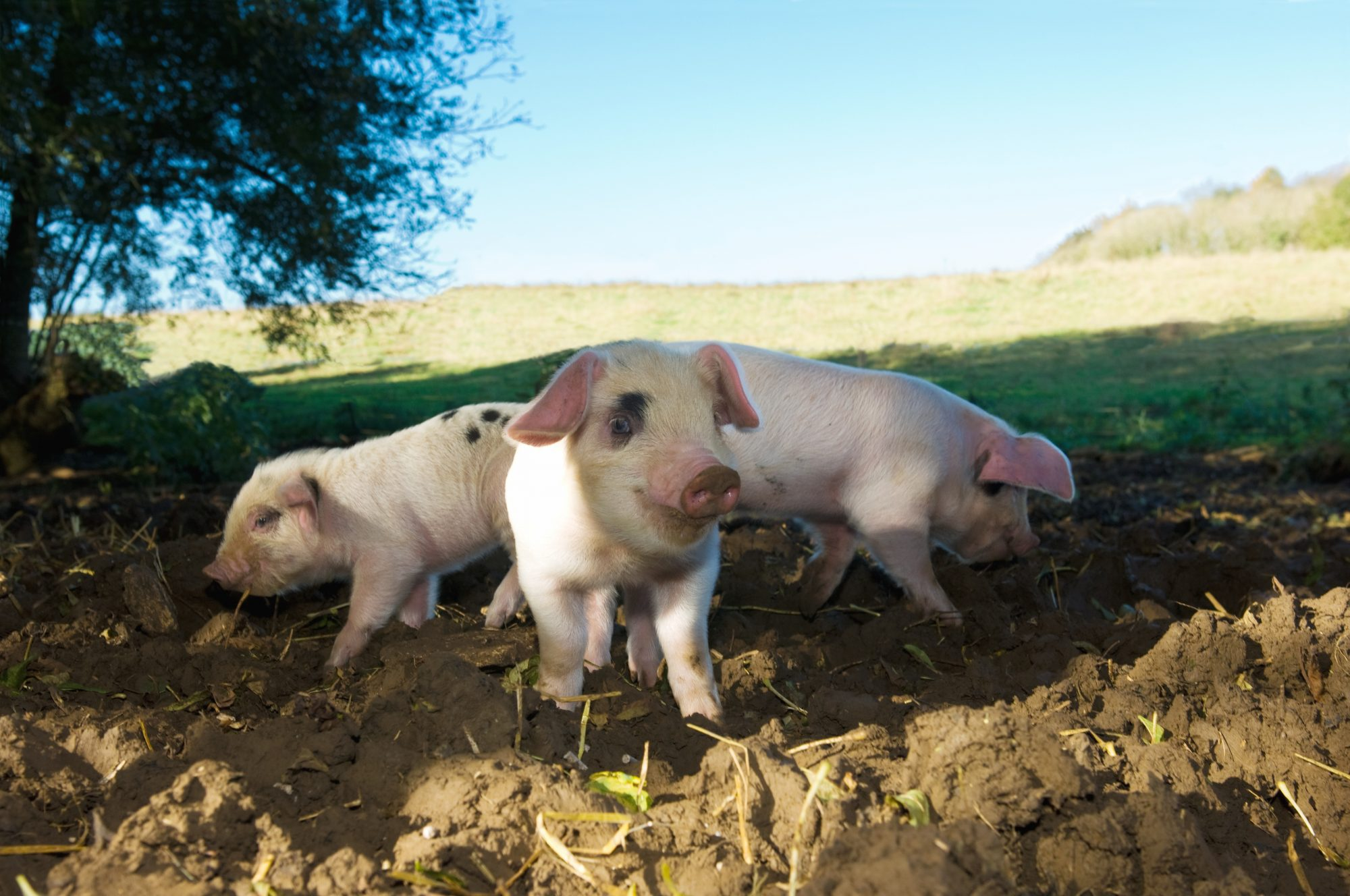 three pigs in mud