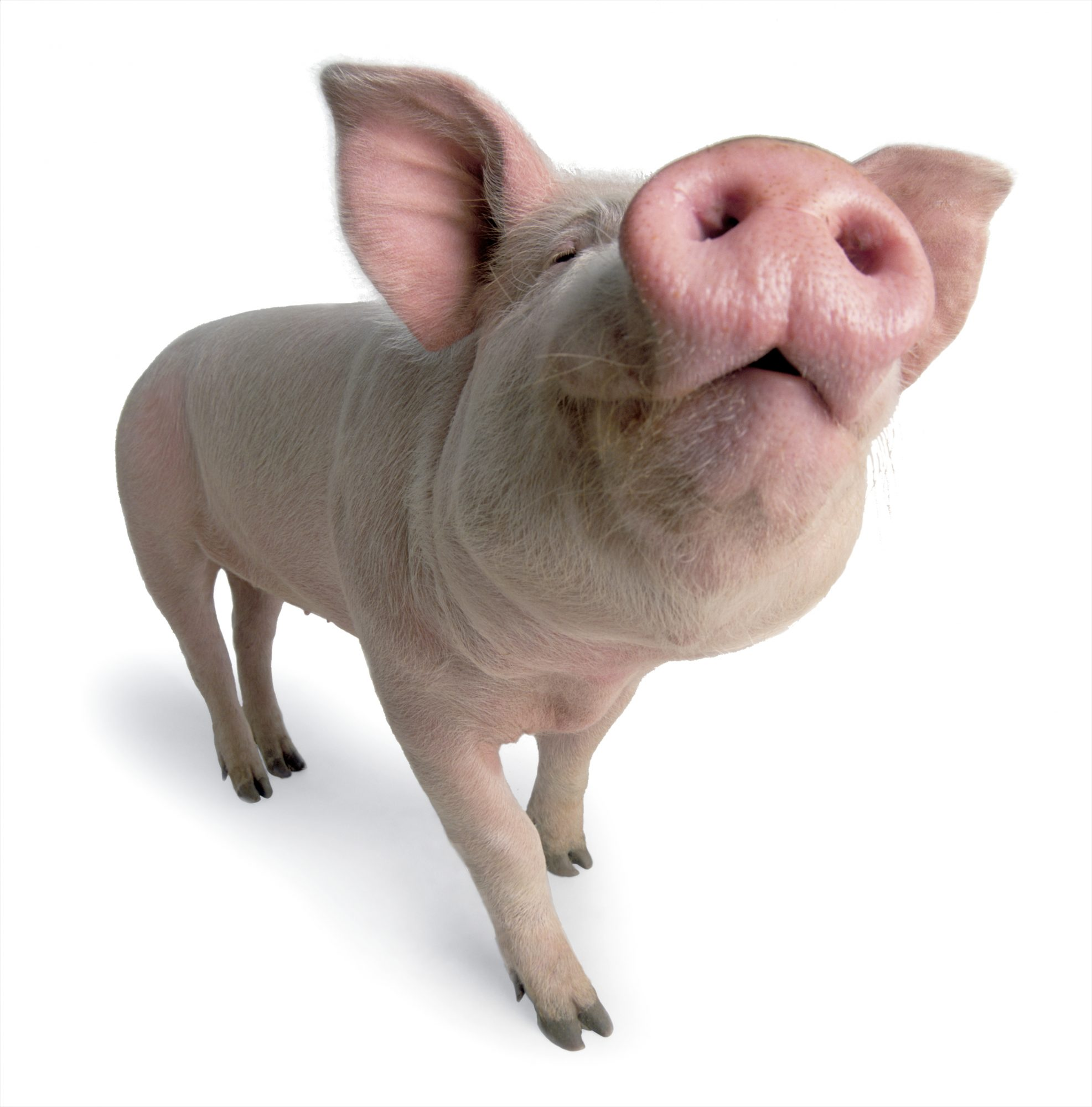 pink pig with nose in the air
