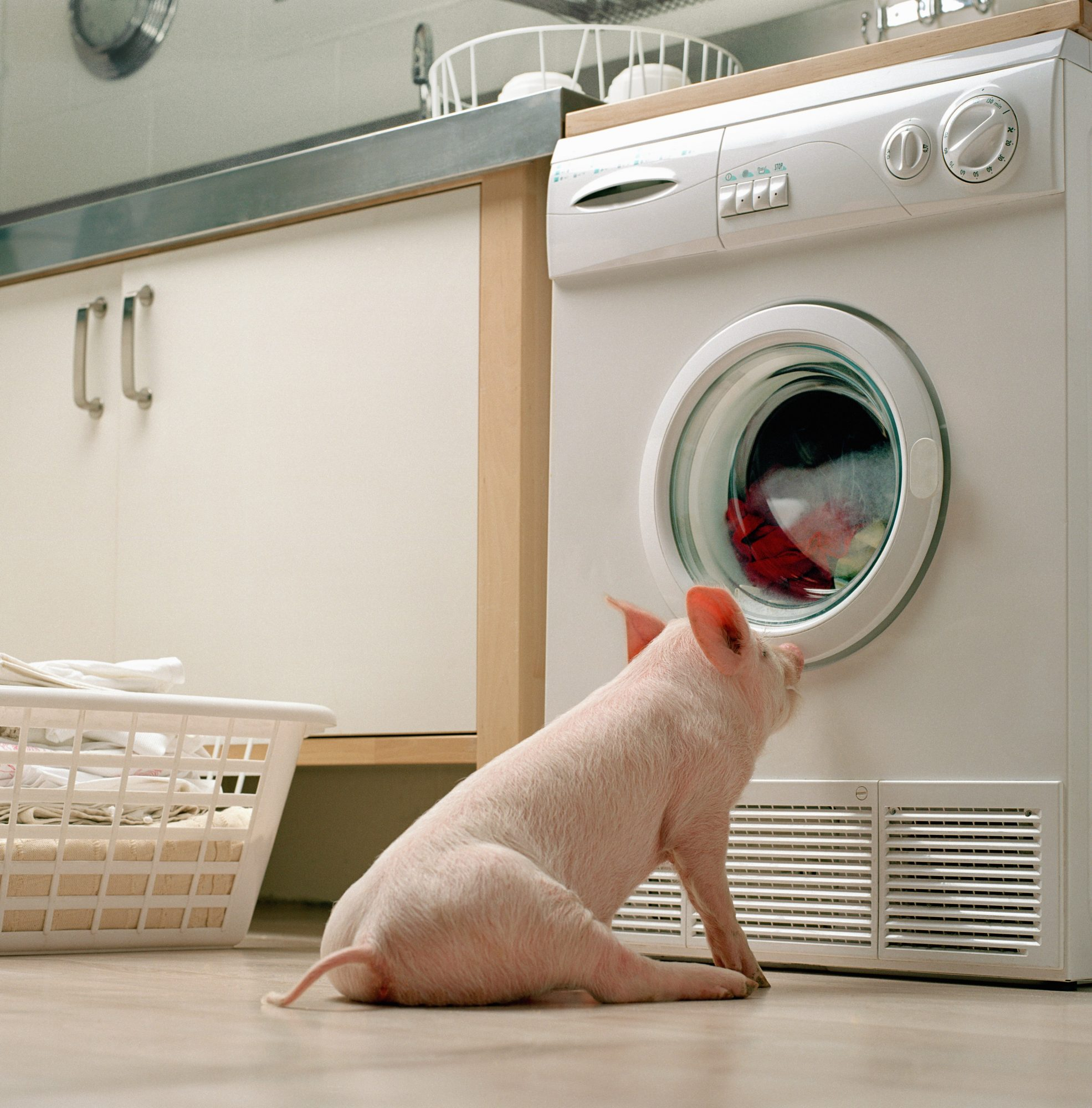 pink pig watching dryer