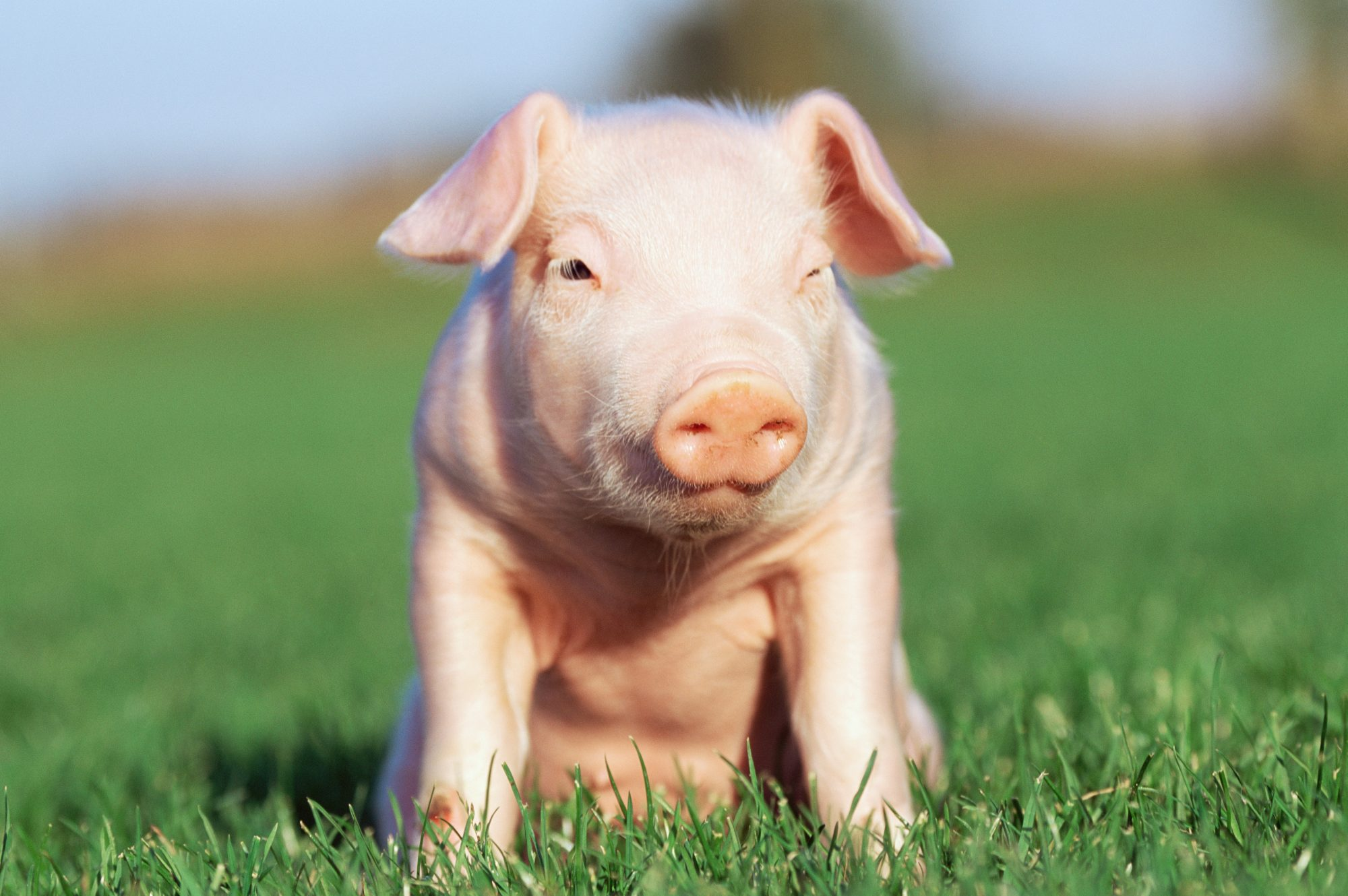 pink piglet sitting in grass field