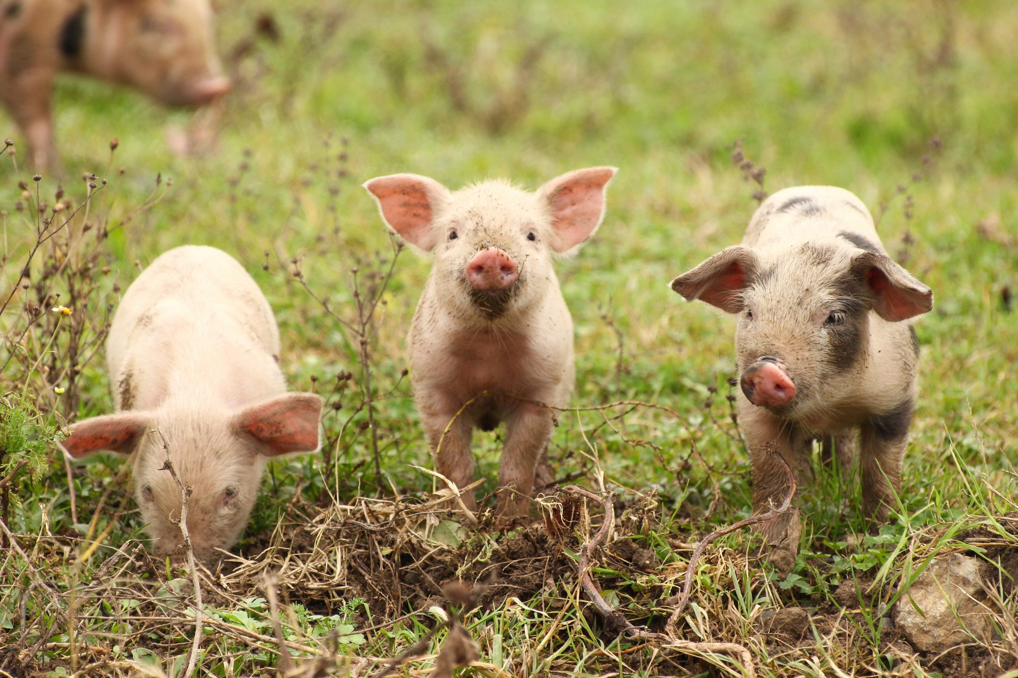 three muddy piglets