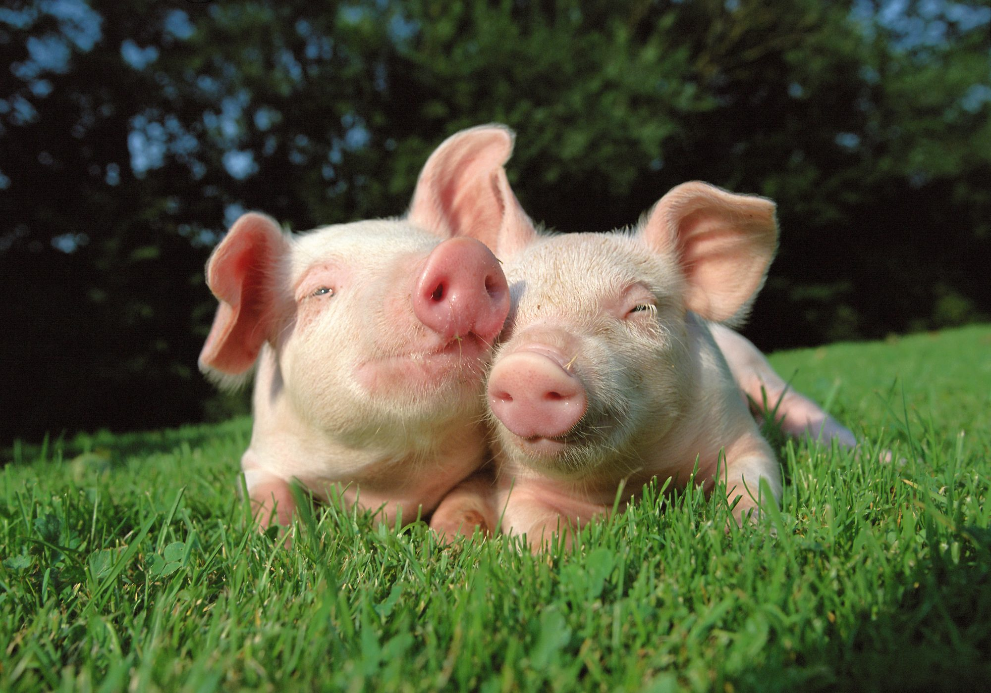 pigs in grass field
