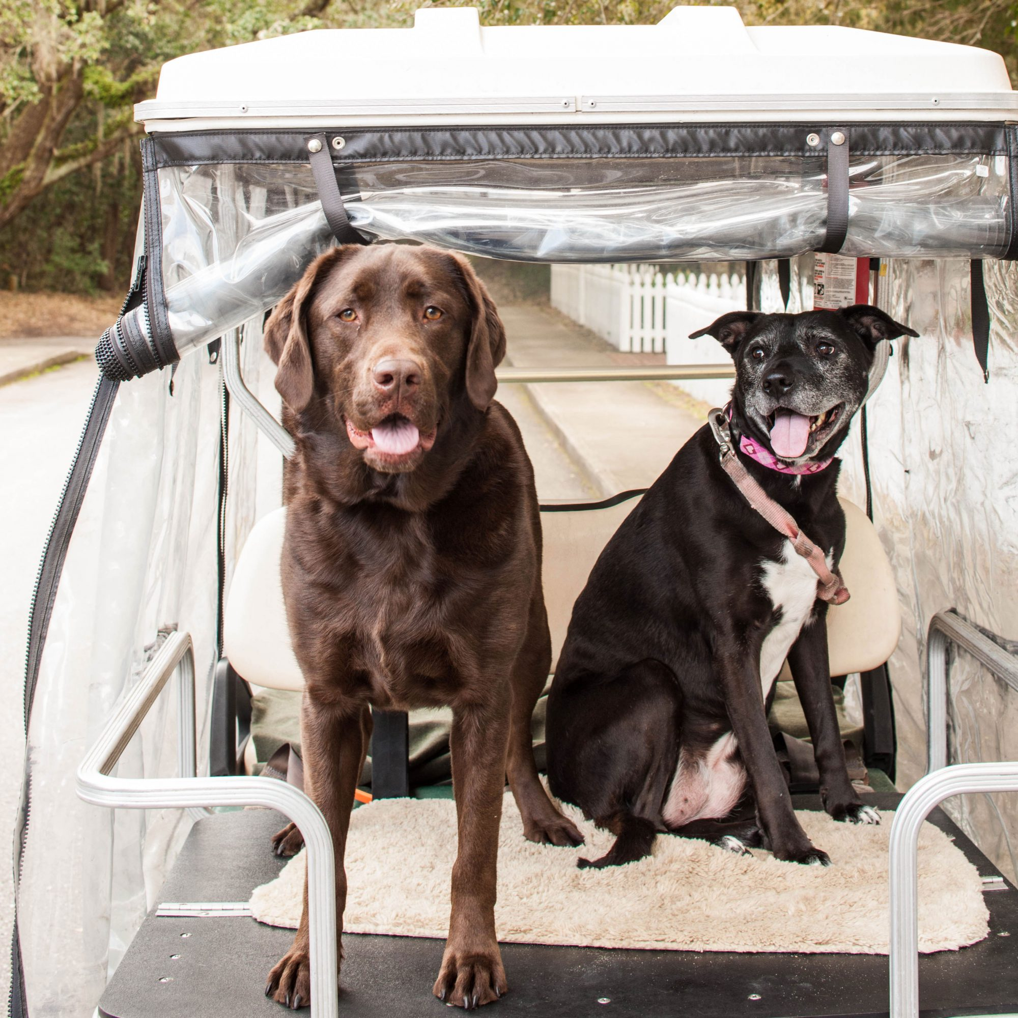 two dogs on golf cart hilton head