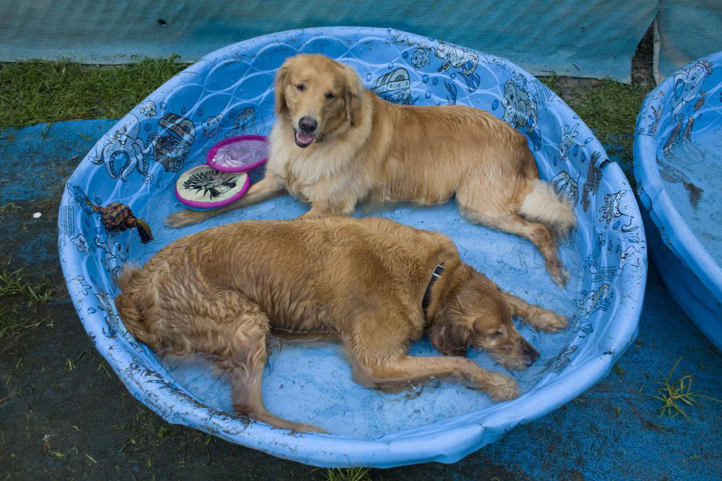 two golden retrievers in baby pool