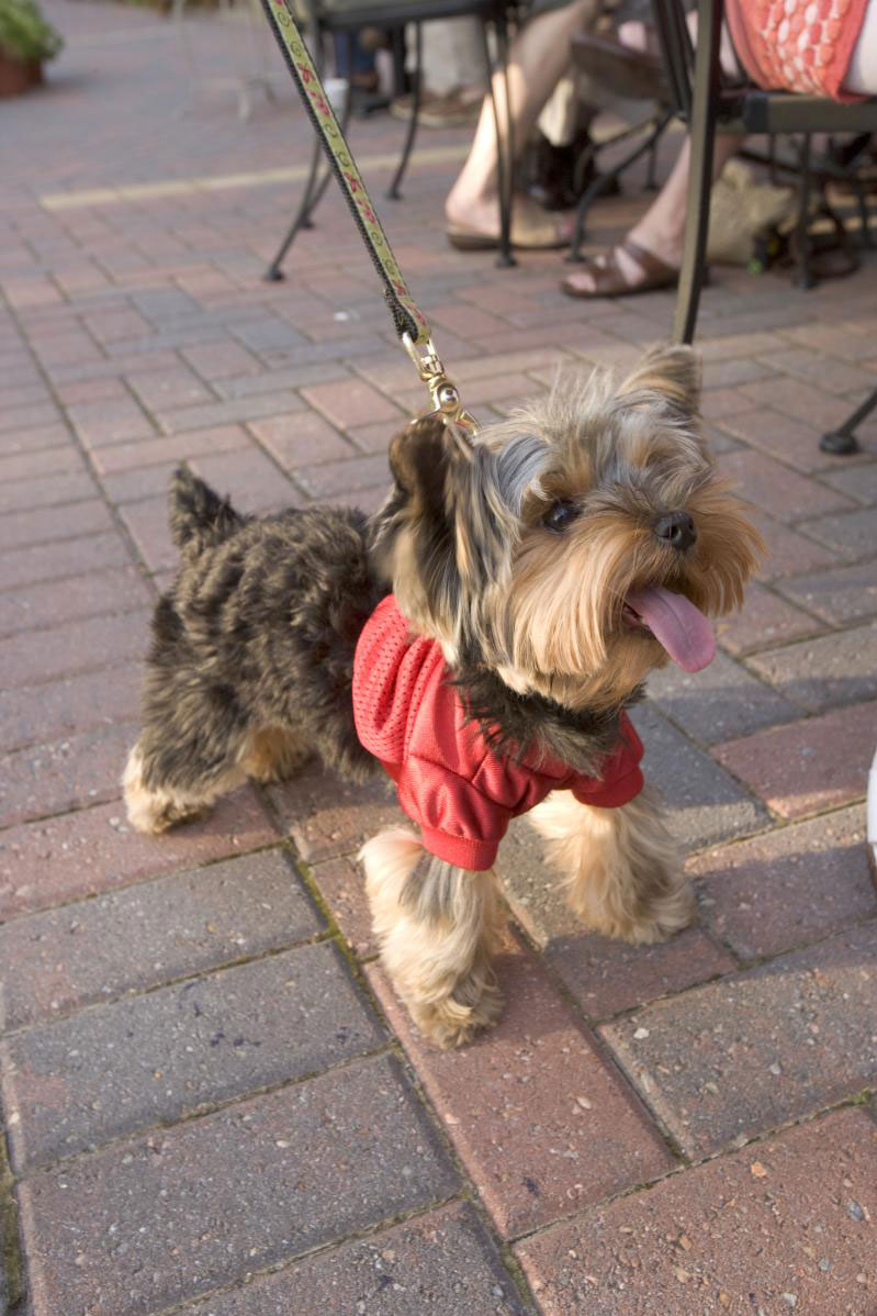 yorkie dog on leash