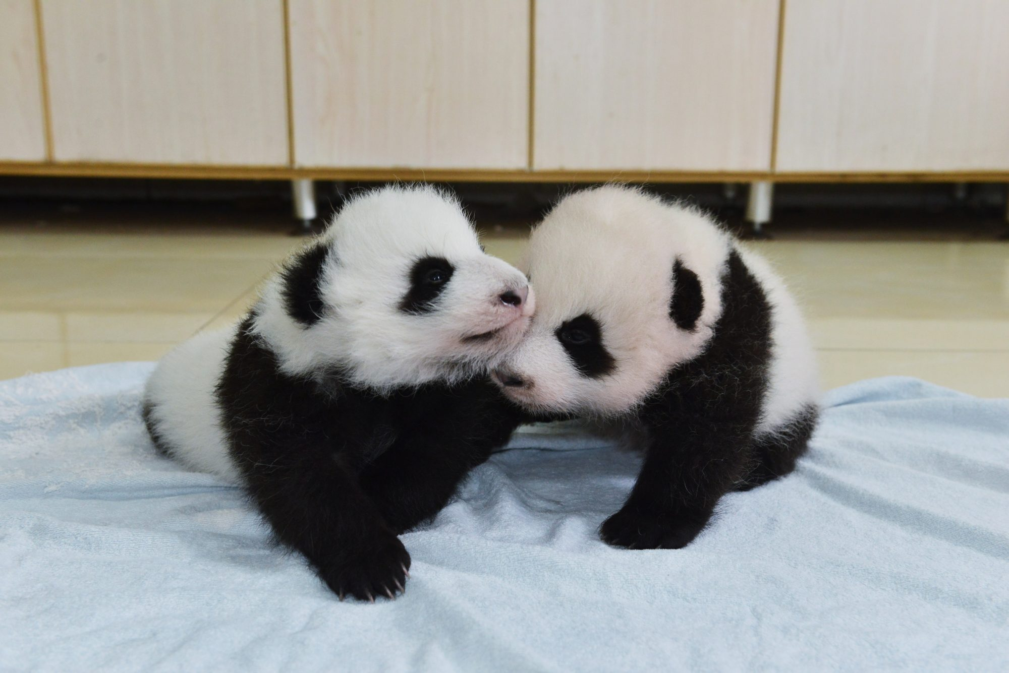 New born baby giant pandas appear at China Conservation and Research Center for the Giant Panda on October 24, 2015 in Ngawa Tibetan and Qiang Autonomous Prefecture, Sichuan Province of China.